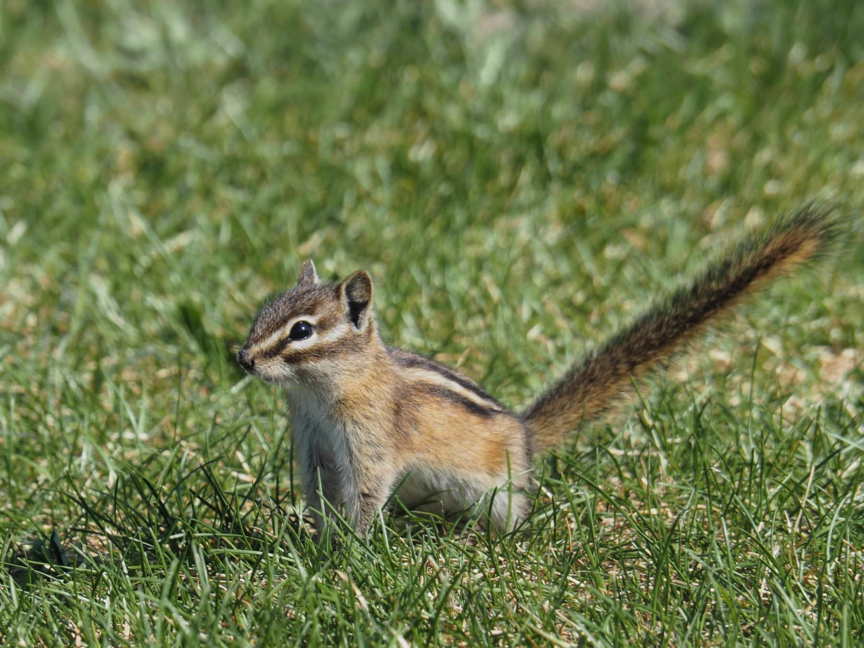 junges Streifenhörnchen, Chipmunk