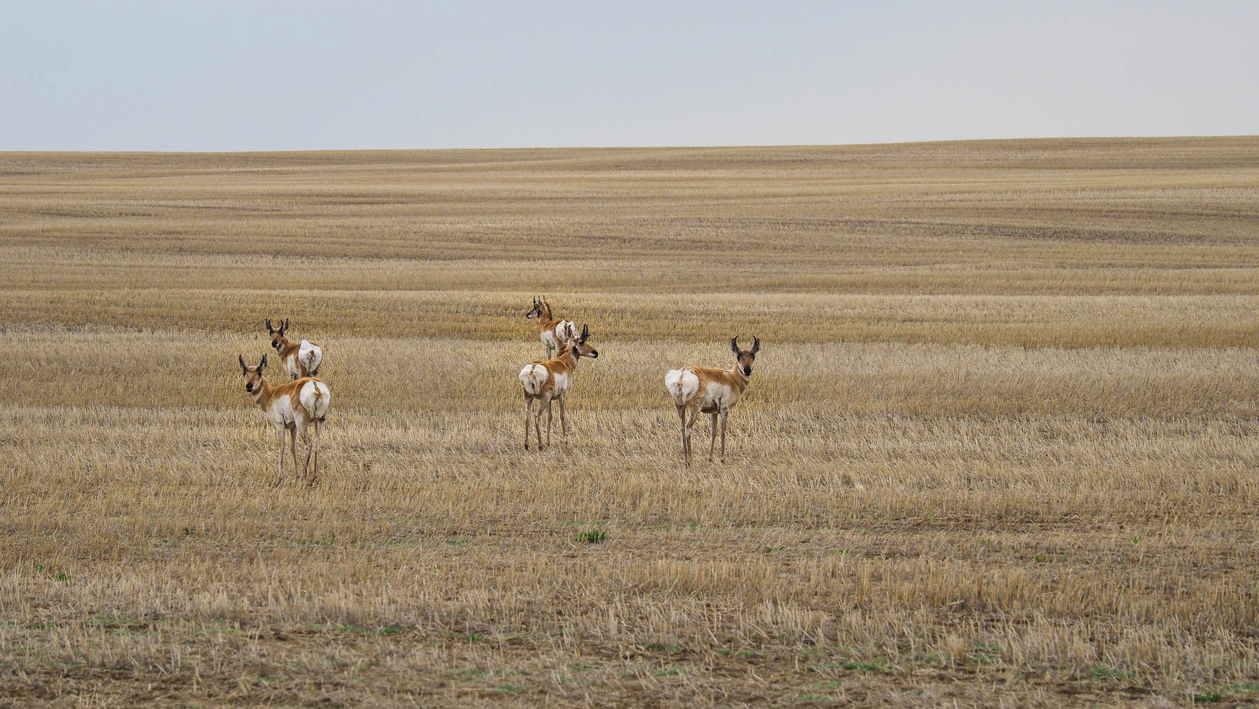Pronghorn Antilopen, Saskatchewan