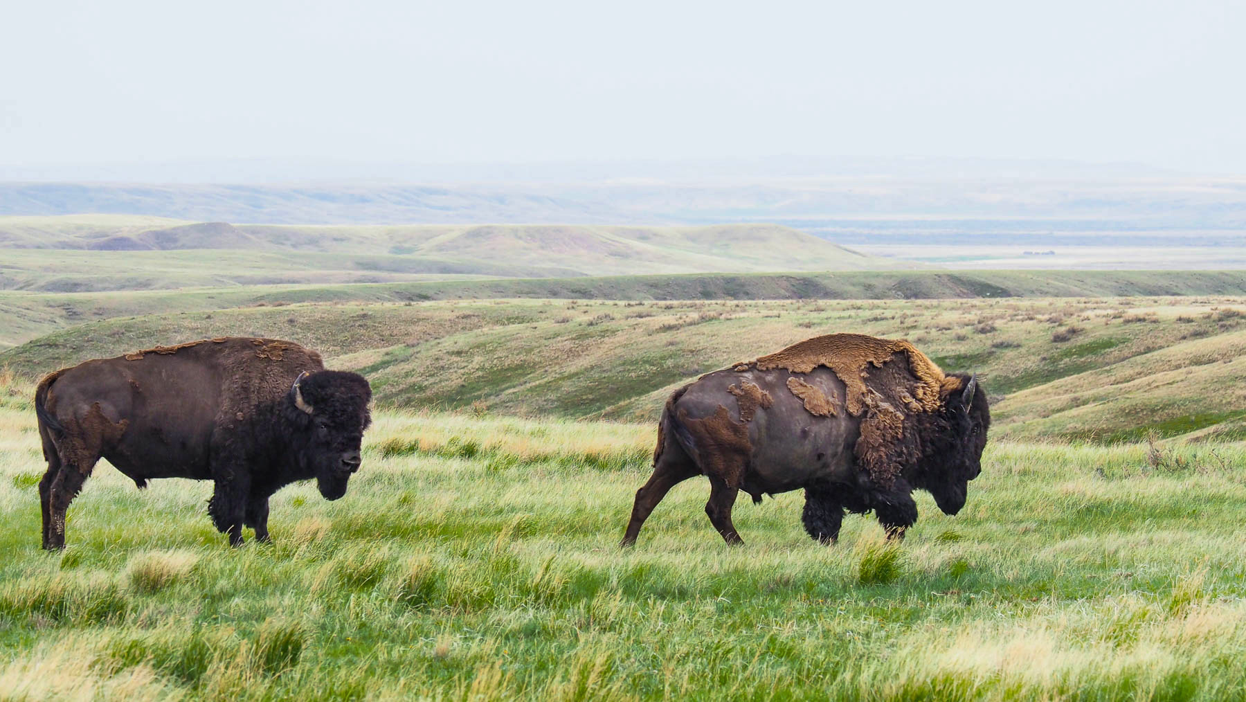 Bisons im Grasland NP