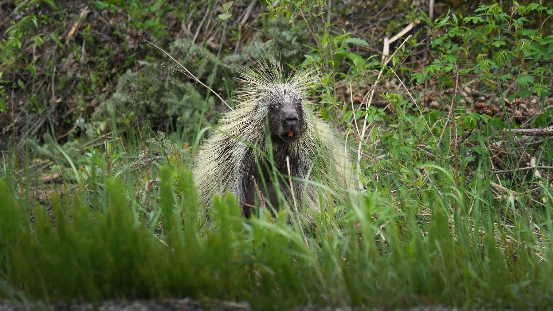Baumstachler oder Stachelschwein