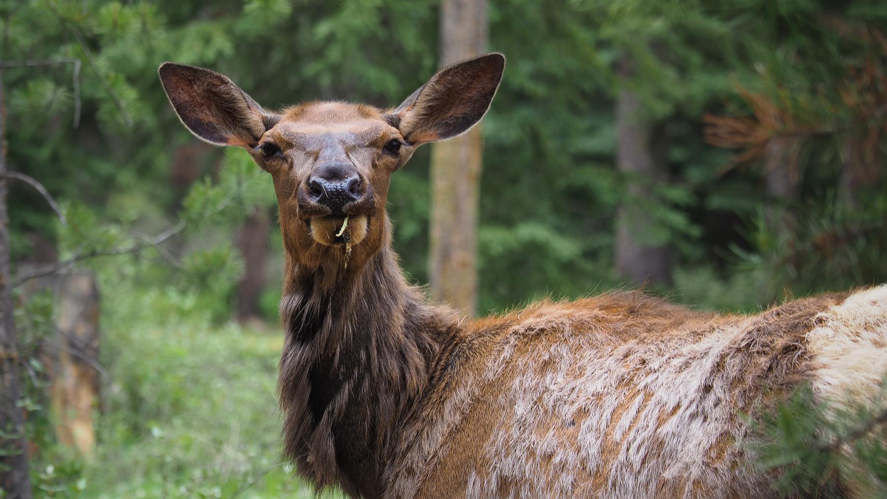 neugierige Wapiti-Hirsch Dame