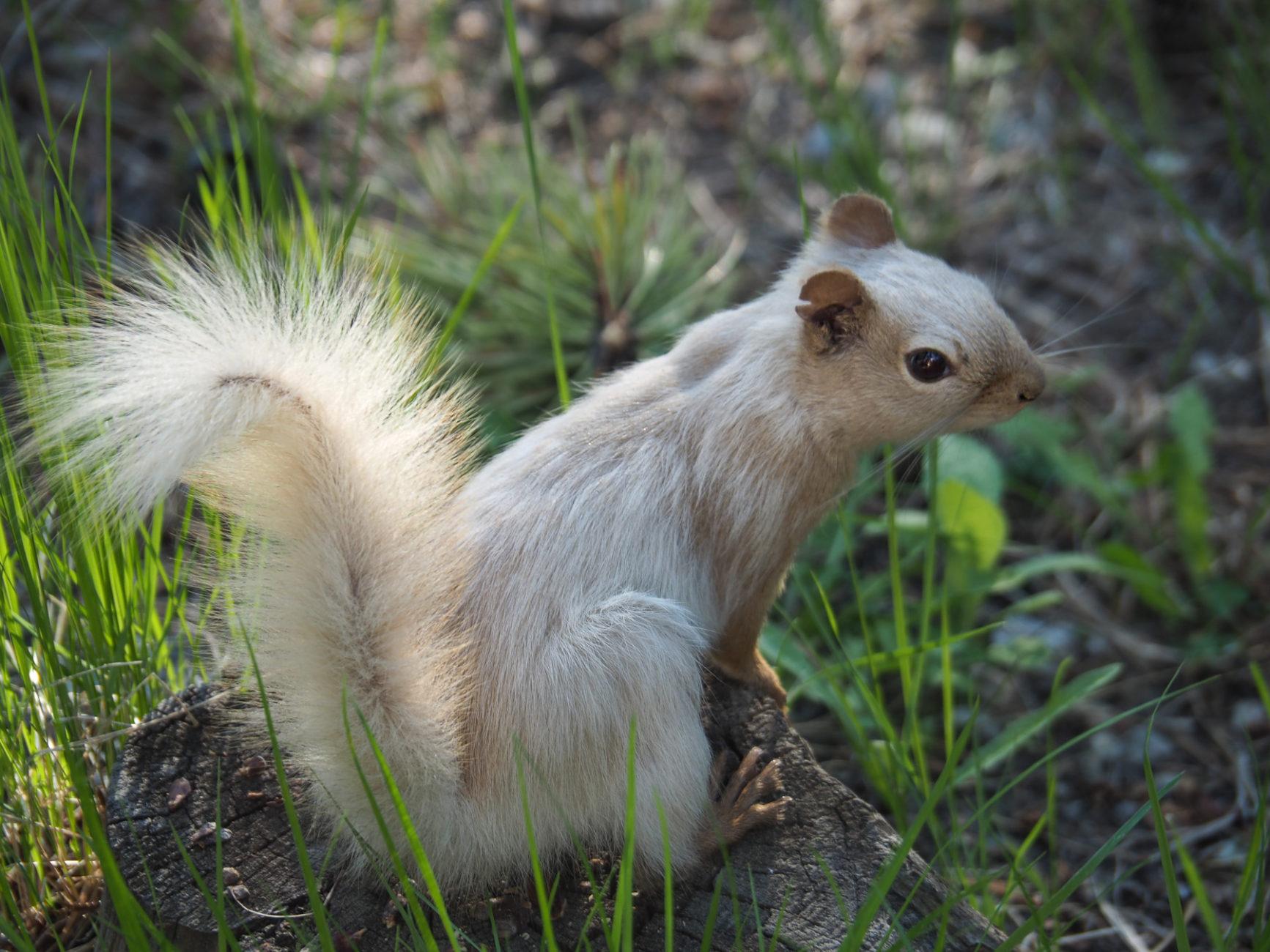 Eichhörnchen-Prinzessin