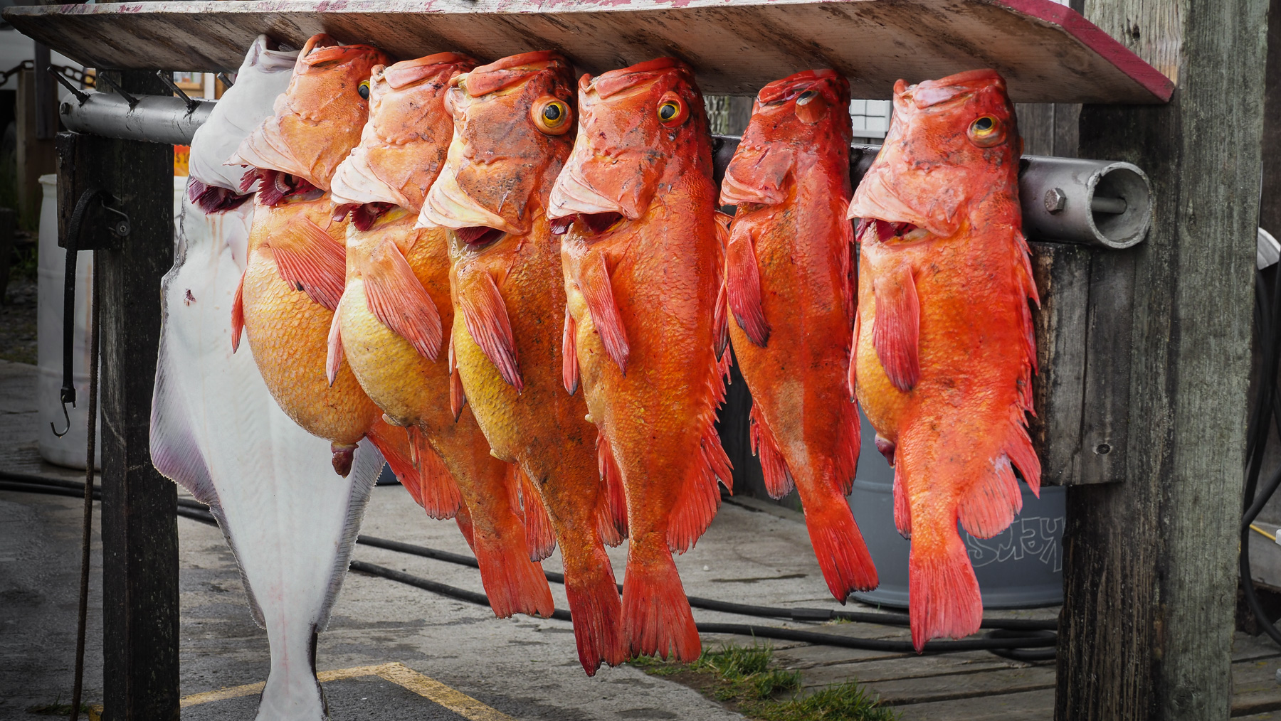 Halibut and red Pacific Rockfish