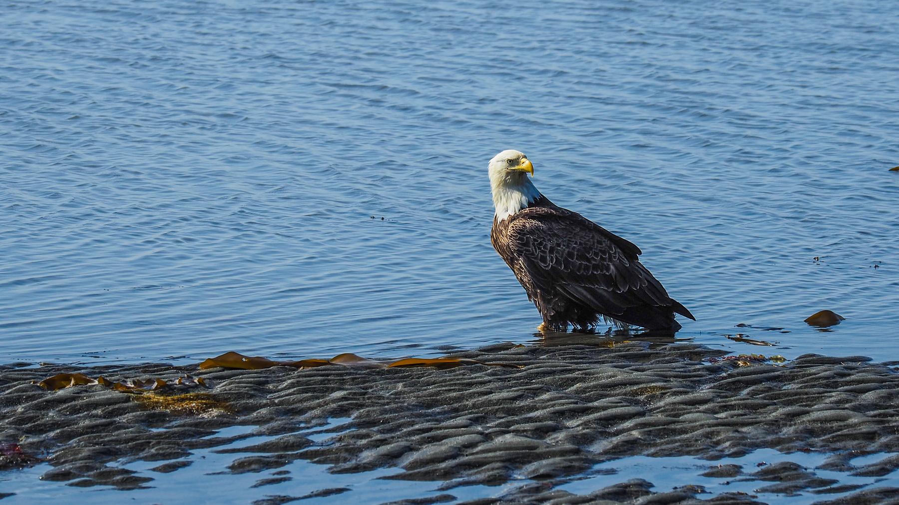 die Adler suchen bei Ebbe den Strand ab
