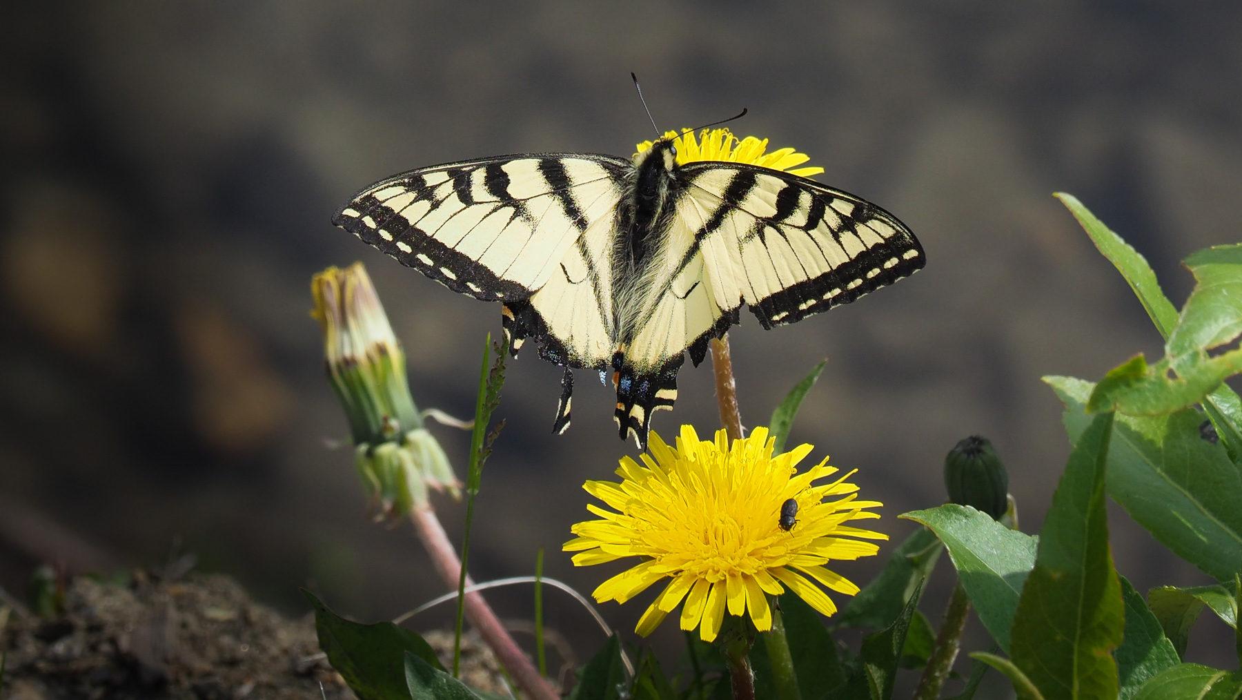 schöner Schmetterling am Wegesrand