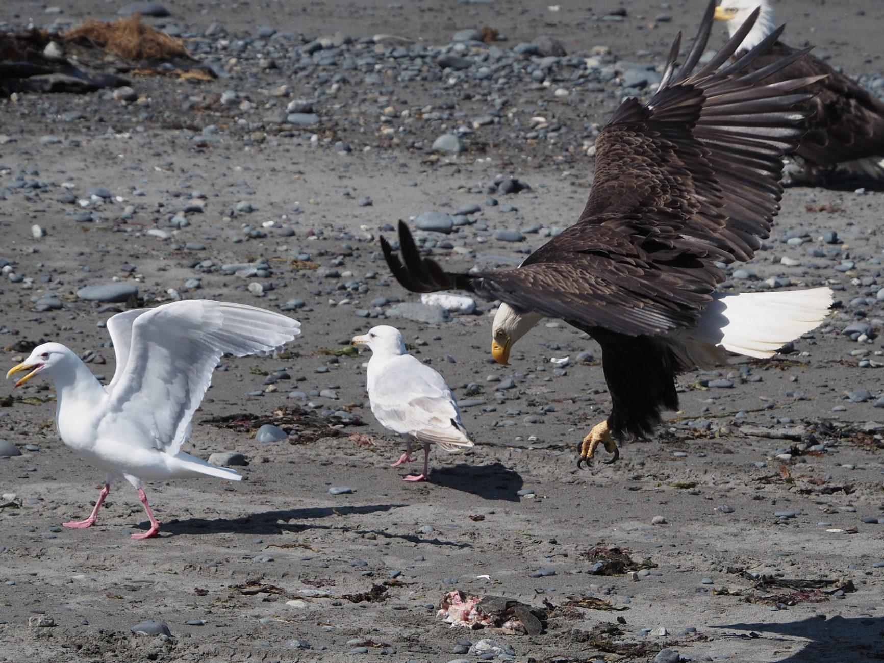 dieser Adler hat einen toten Fisch gefunden