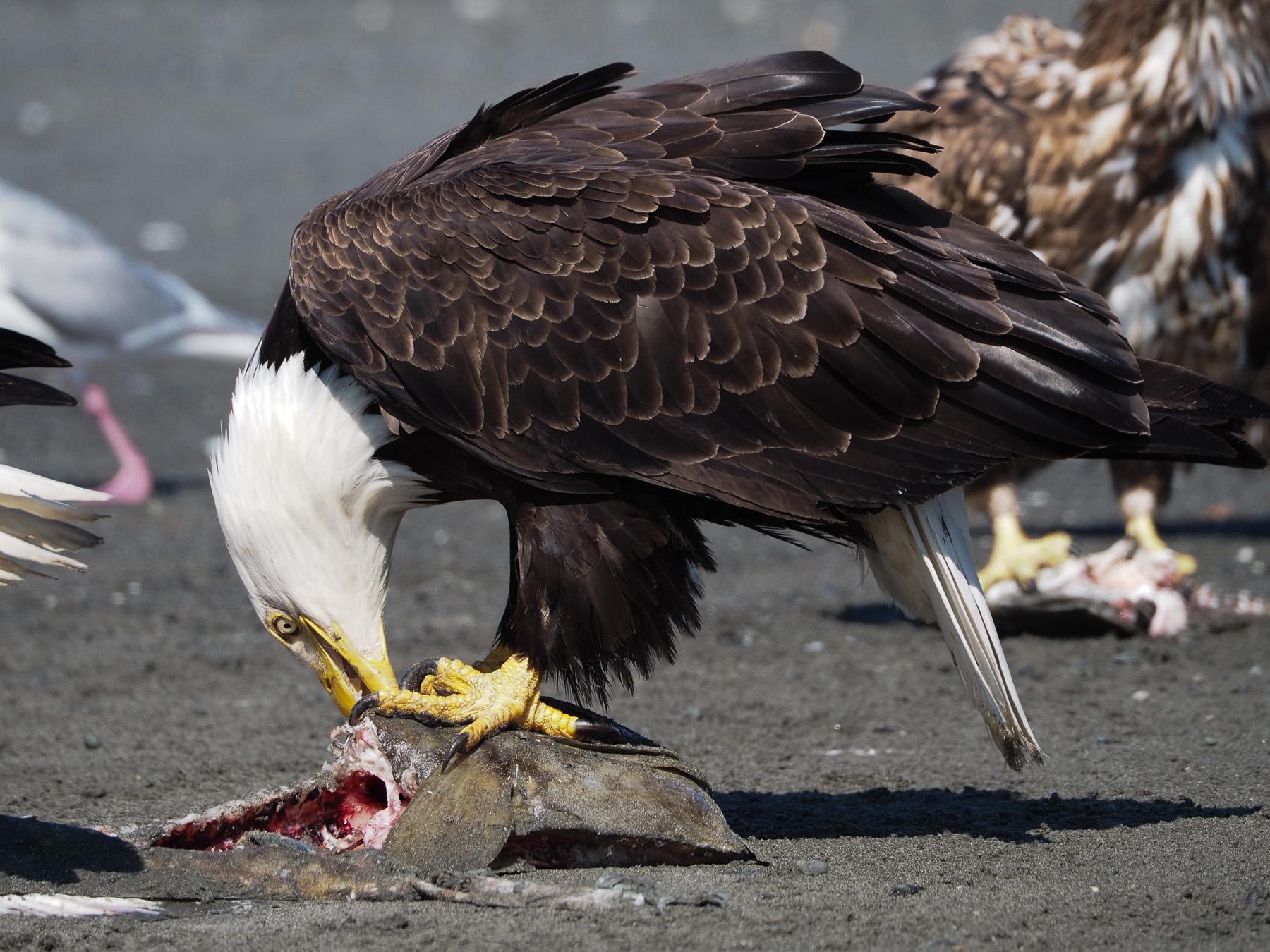 Vor den Adlern haben die Möwen und Krähen großen Respekt