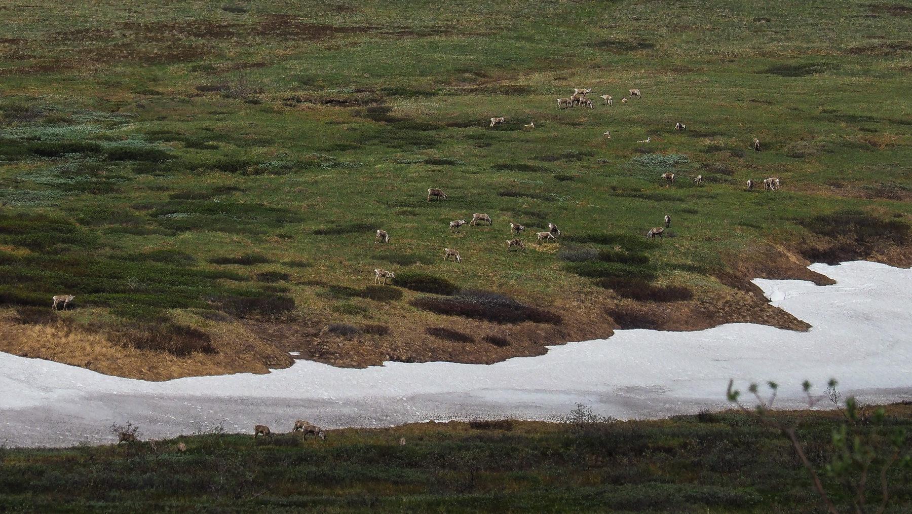 Karibu Herde im Denali NP