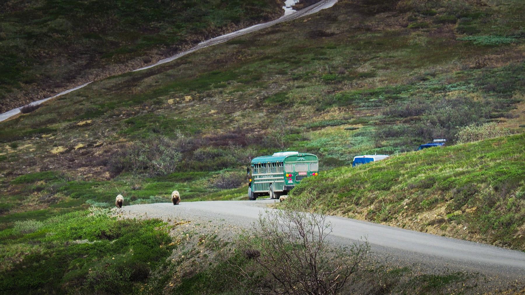 drei Grizzlybären auf der Straße!