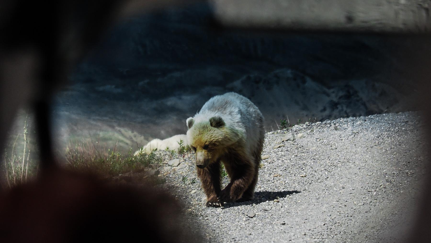 beeindruckend große Grizzlys