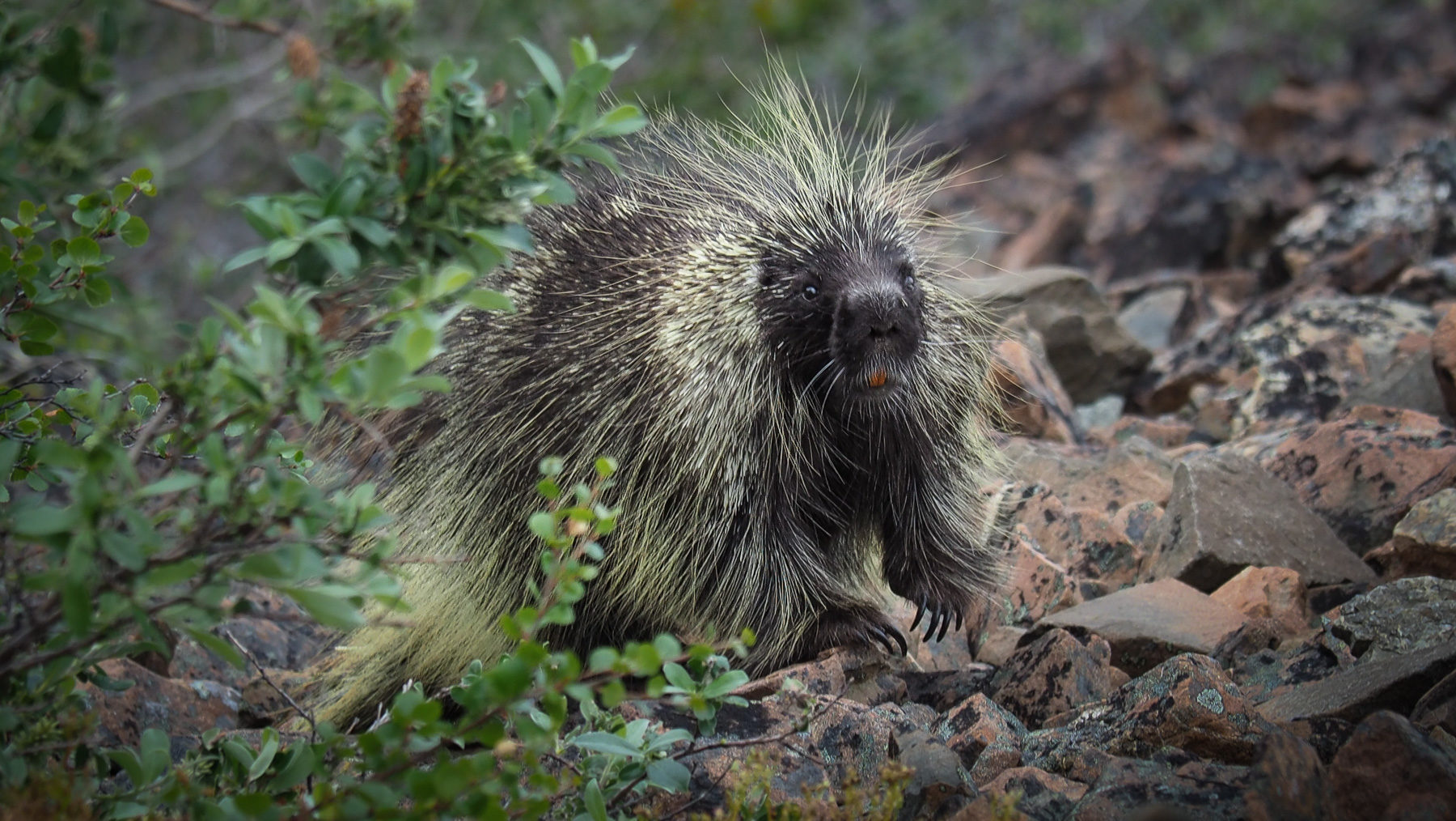 auf dem Rückweg überraschen wir ein Porcupine