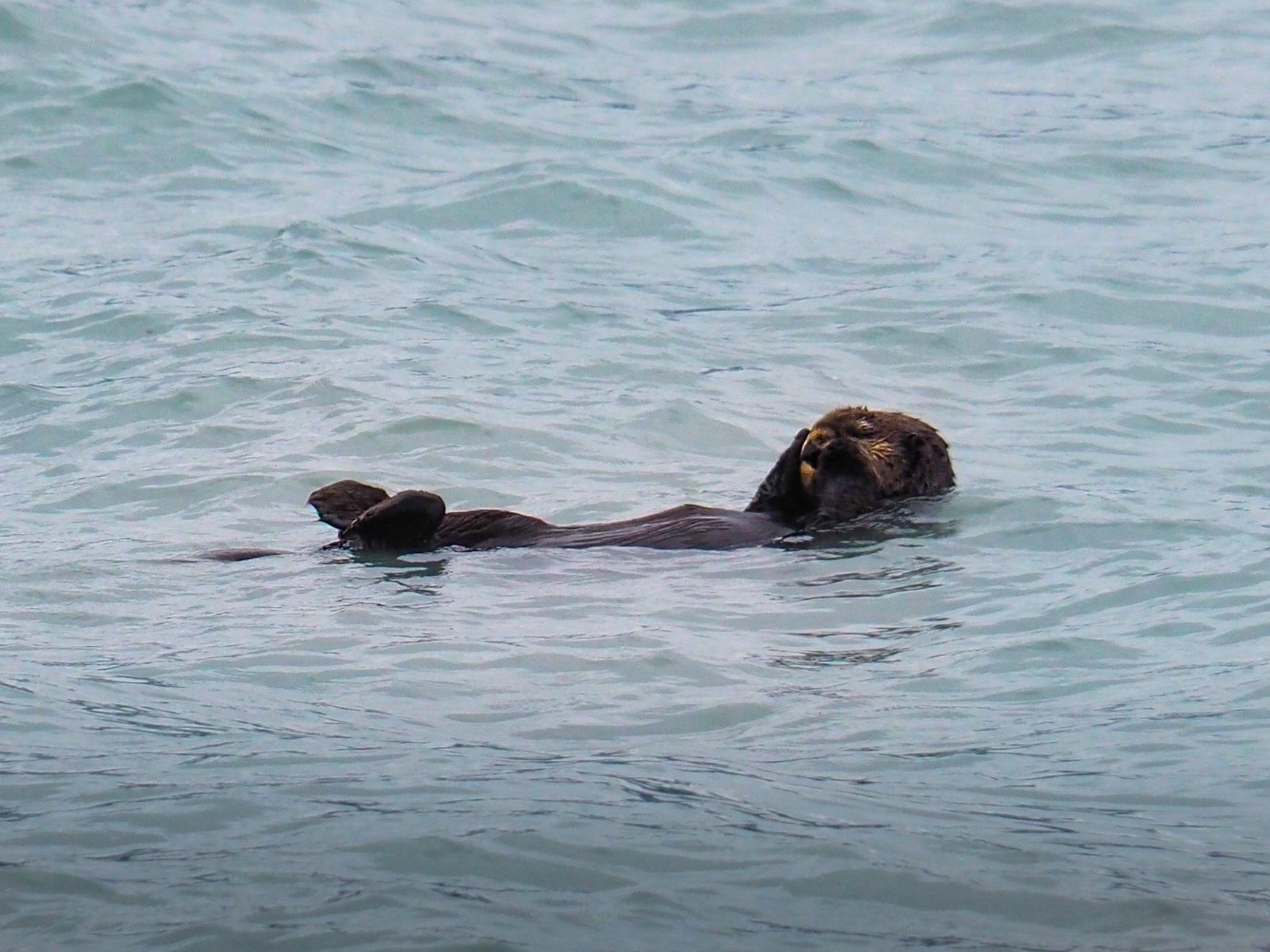 Seeotter, leider nur einen der netten Tierchen gesehen