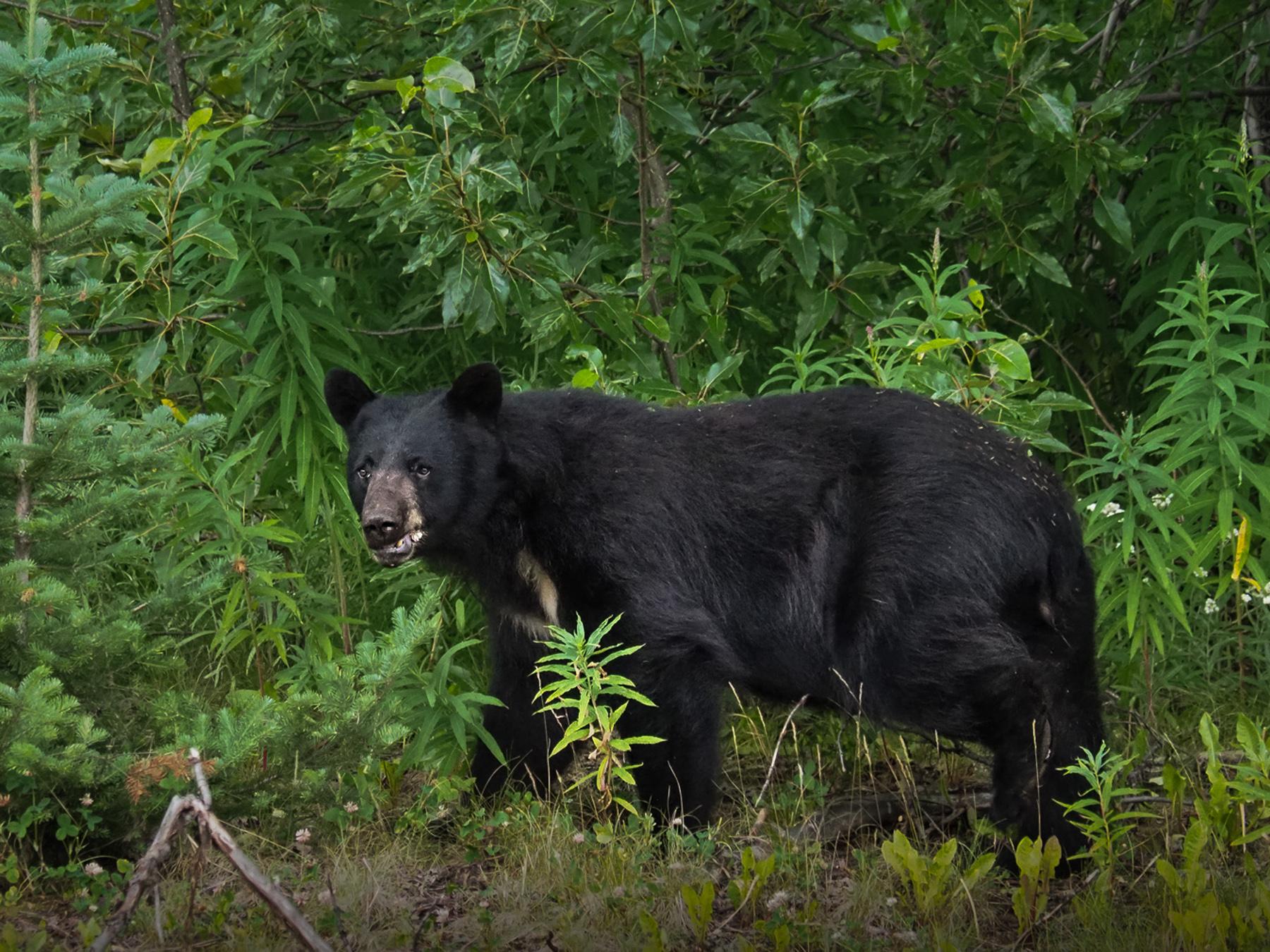 später mal noch ein großer Bär