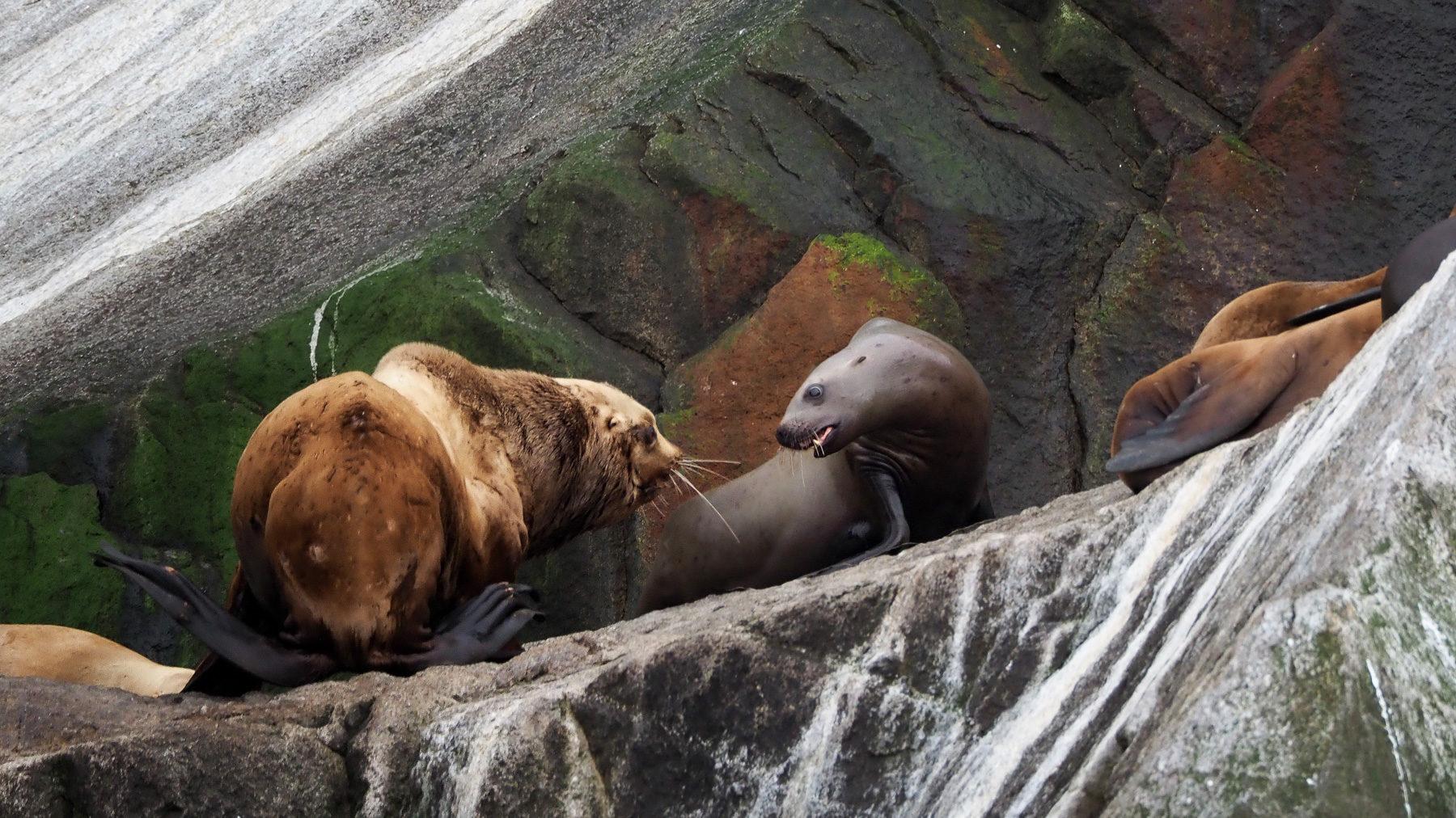 der große Seelöwenbulle greift in den Kampf ein