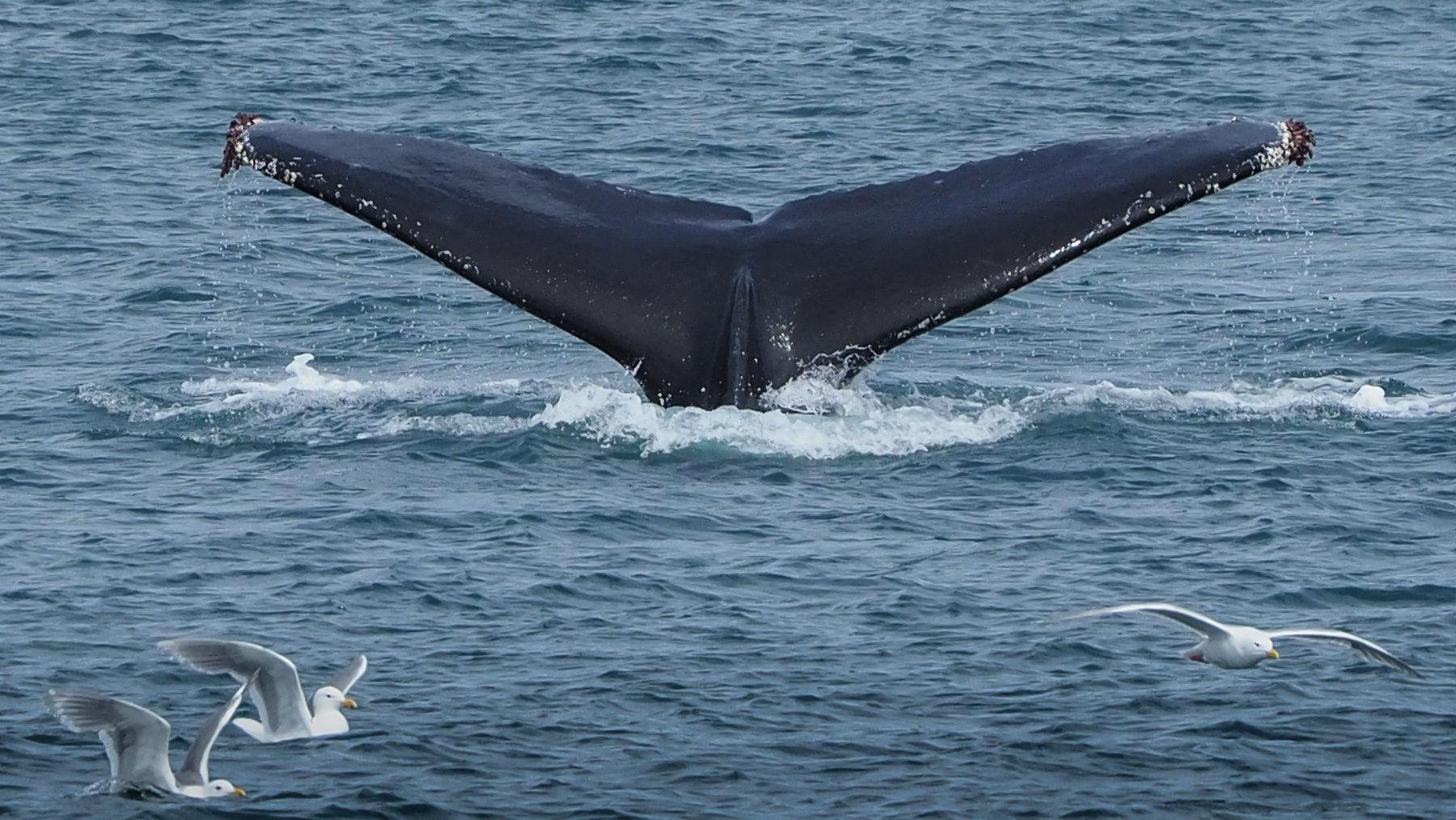 Eine Herde Buckelwale taucht ab