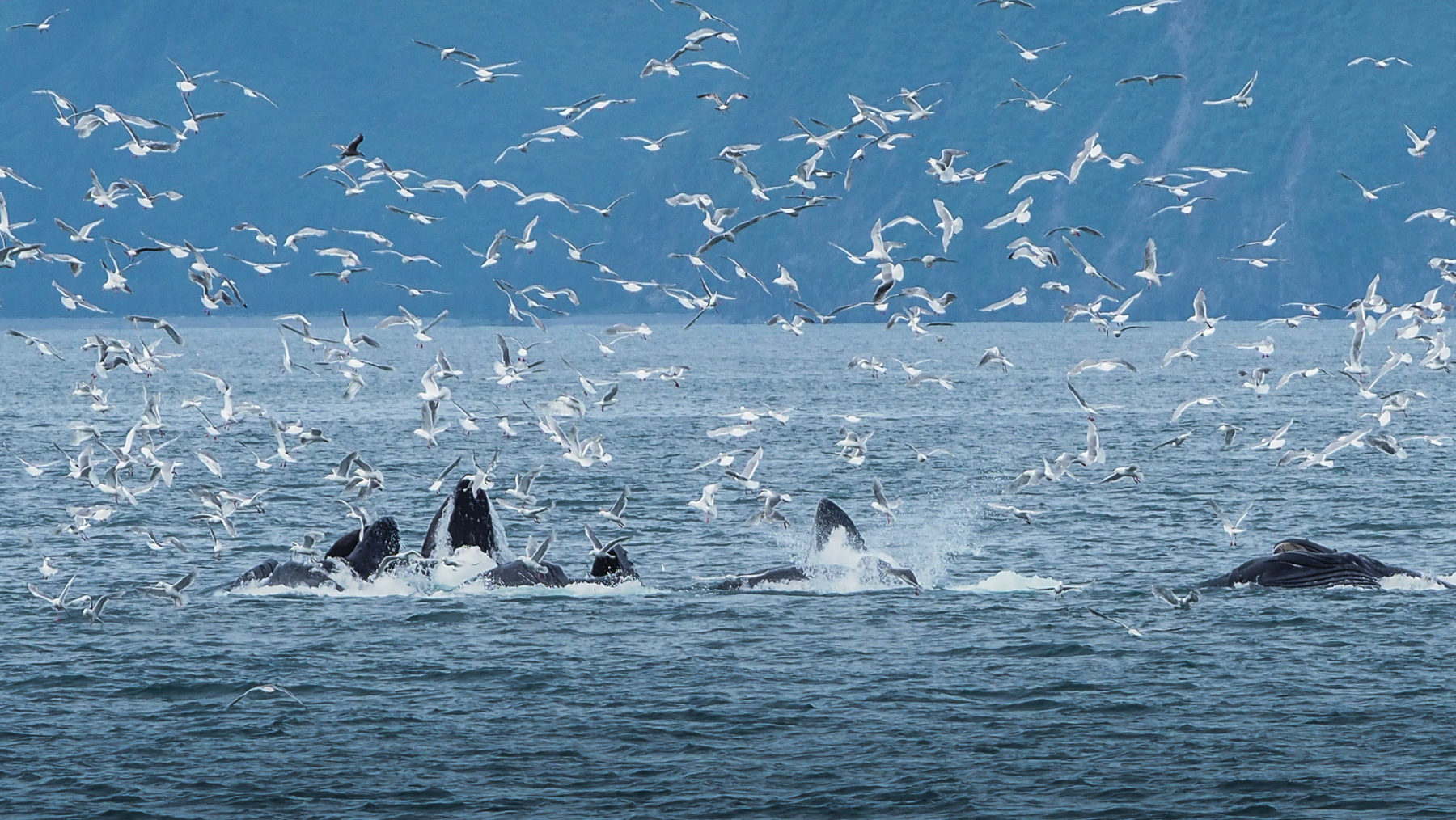 eine Gruppe Buckelwale bei der Jagd