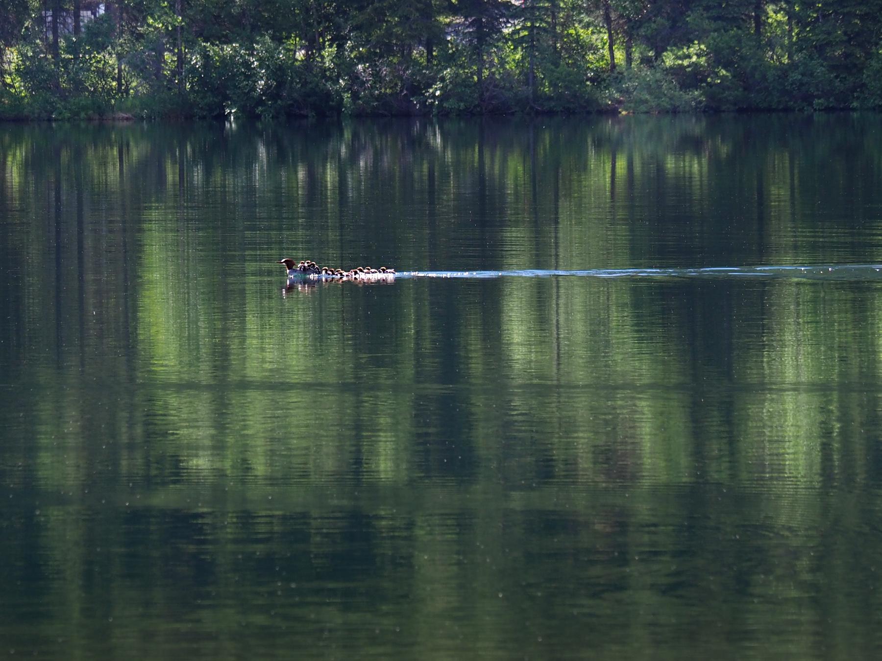 Entenfamilie auf einem Seen im Landesinneren