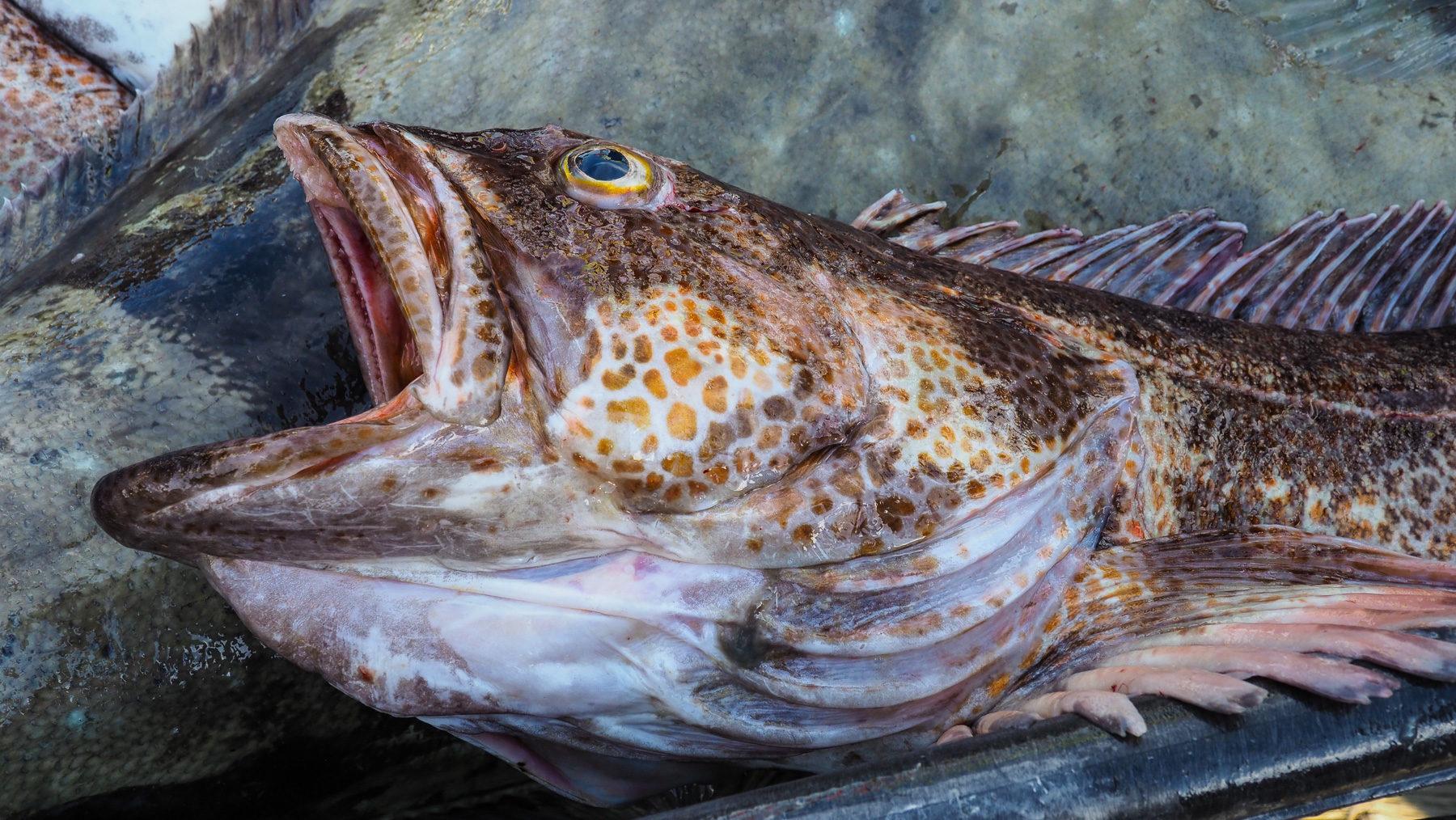 ein besonders schöner Fisch