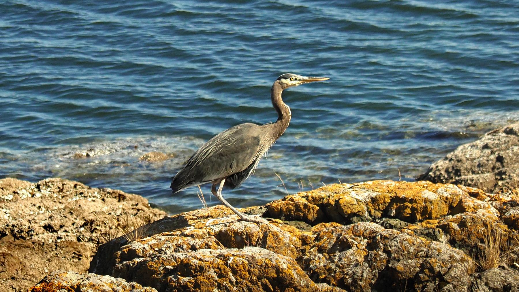 Blaureiher, Seeotter und viele Vögel an der Südküste
