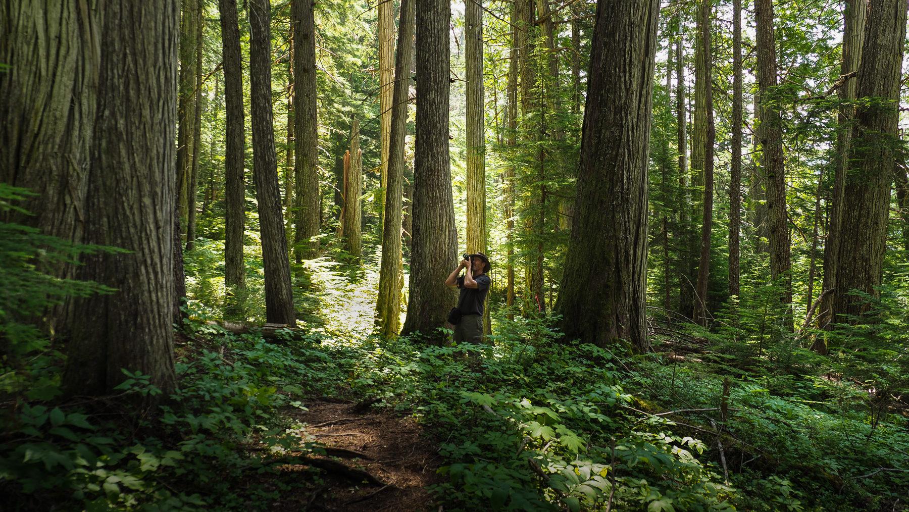 die ersten Zedernwälder