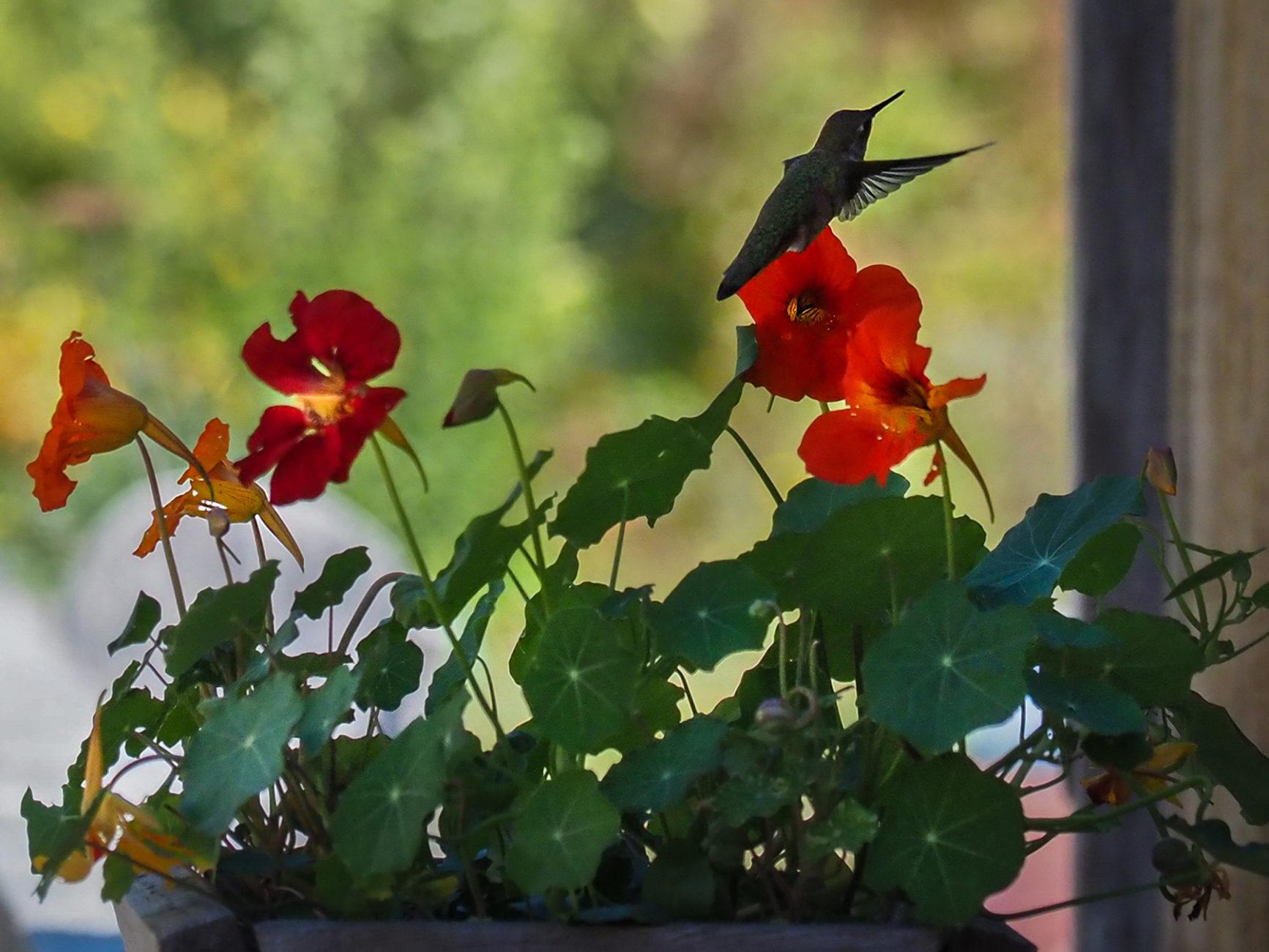 Kolibris ! in Erik's Garten am Haus