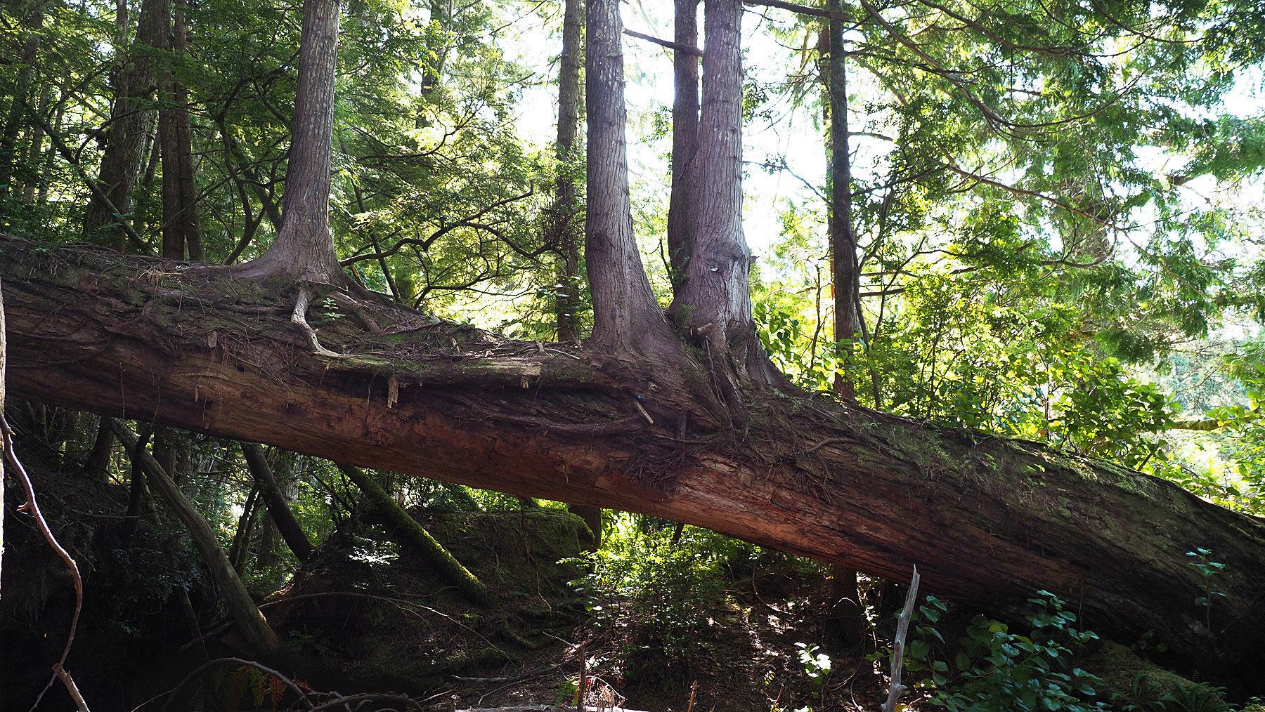 auf den umgestürzten Bäumen wachsen wieder neue Bäume