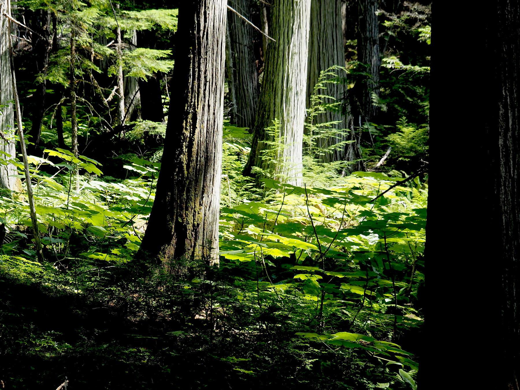 Herrlicher Wald im Wells Gray Park