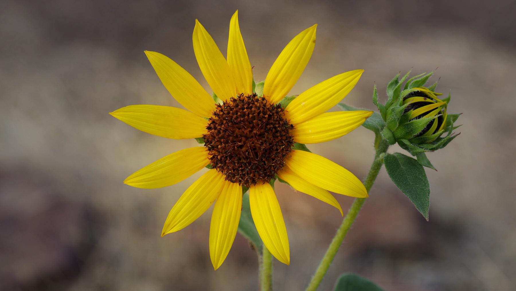 Wilde Sonnenblumen überall
