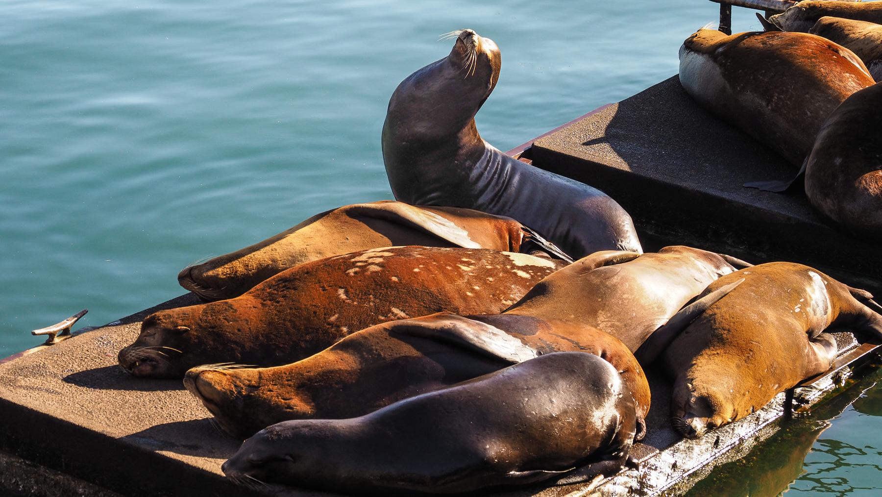 Seelöwen im Hafen von Newport