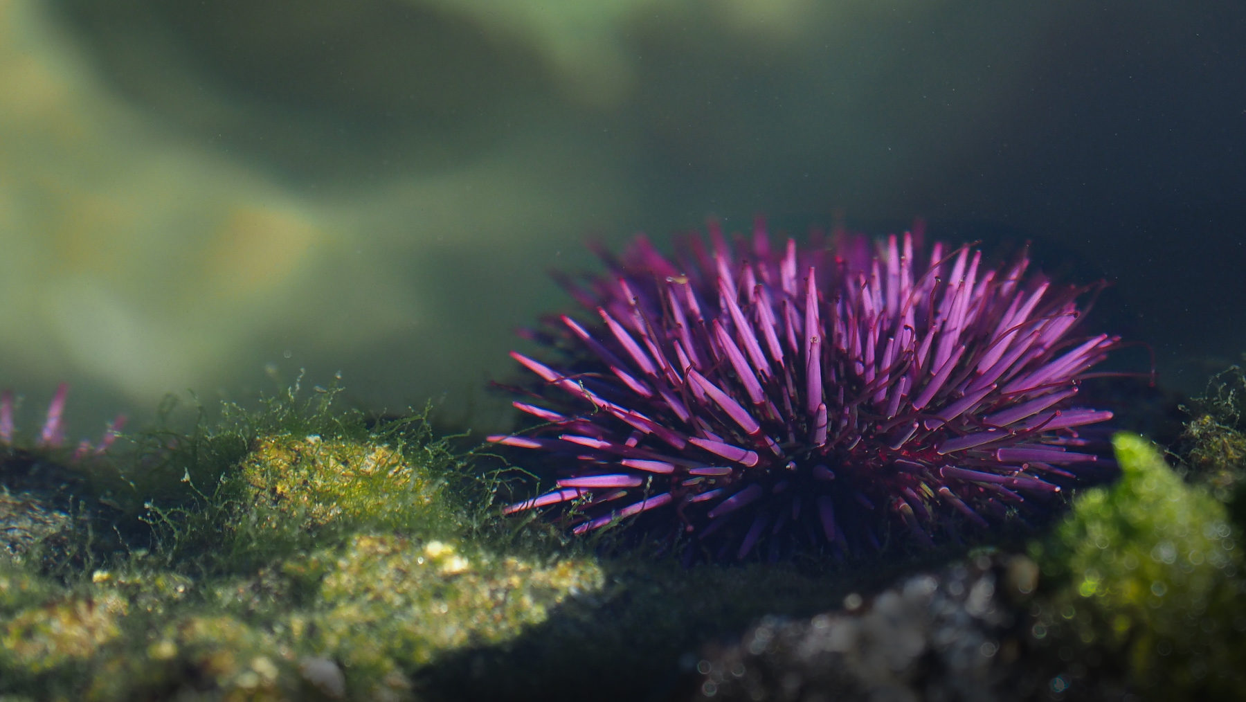 Seeigel, die sind wirklich so lila!