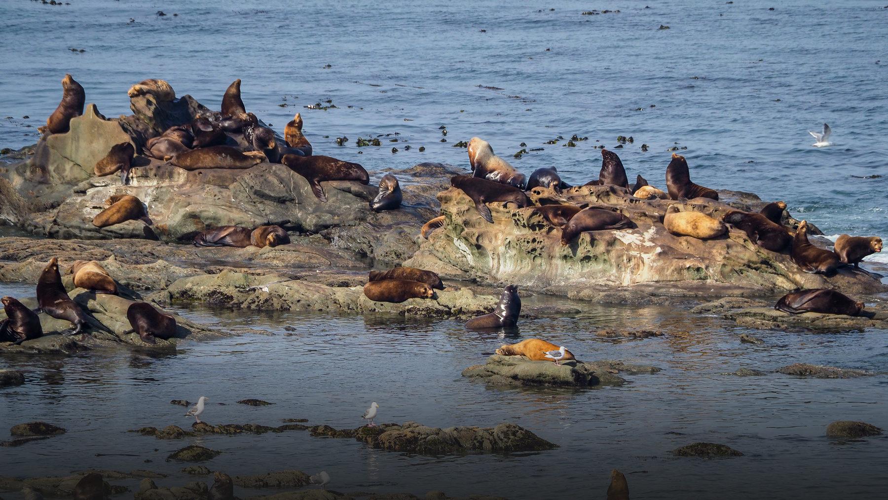 Seelöwen und Seehunde