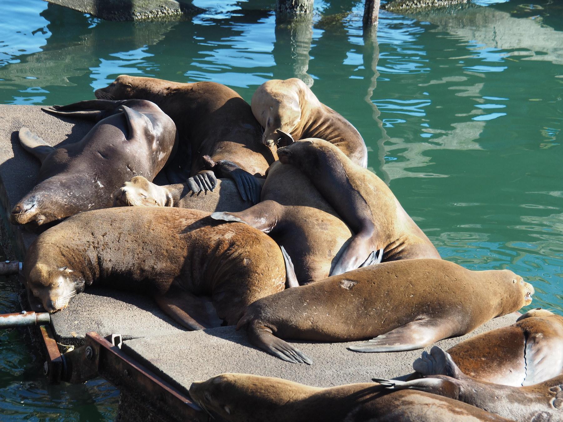 Seelöwen-Durcheinander in Newport