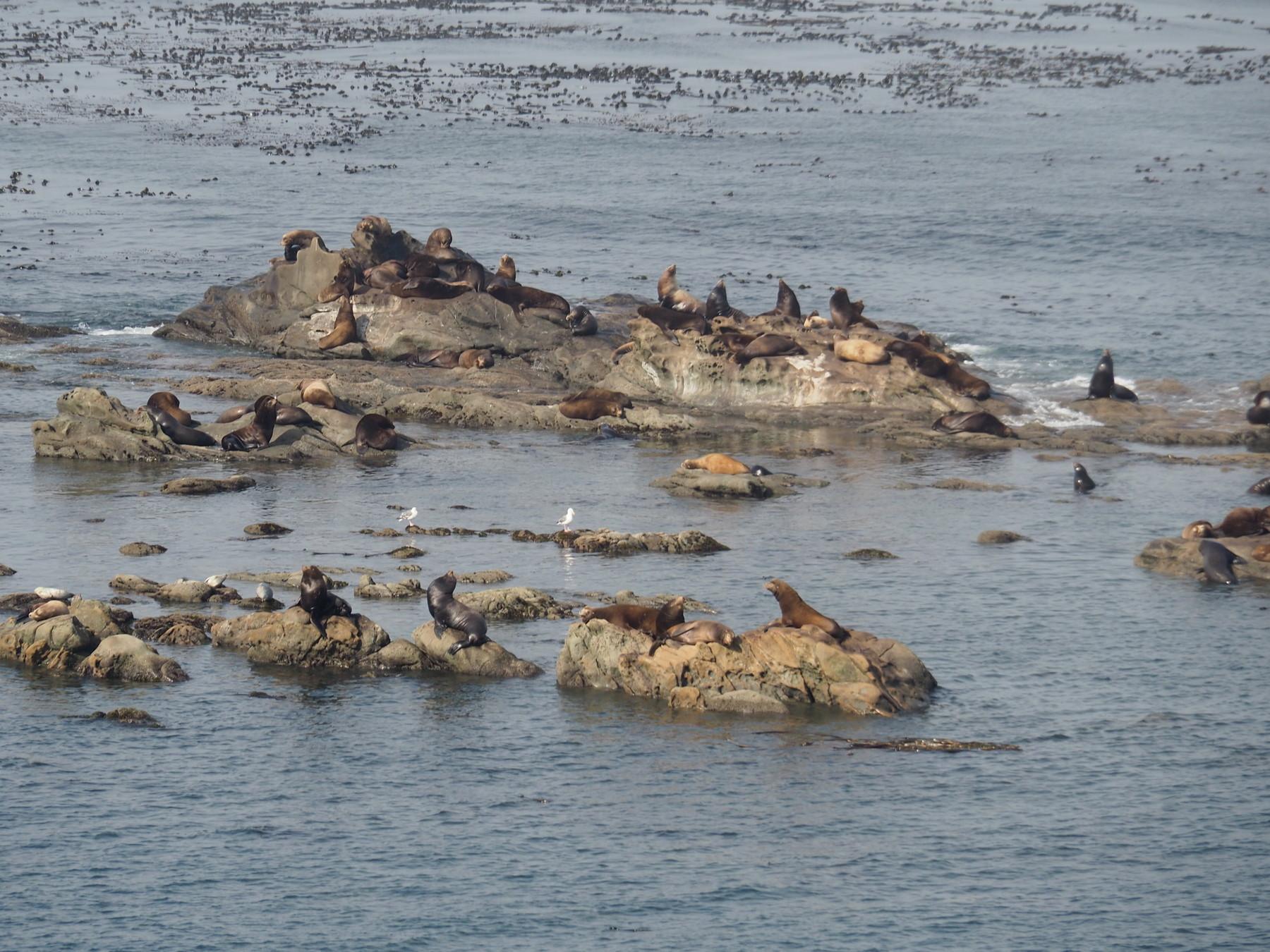 Seehunde und Seelöwen am Simpson Reef