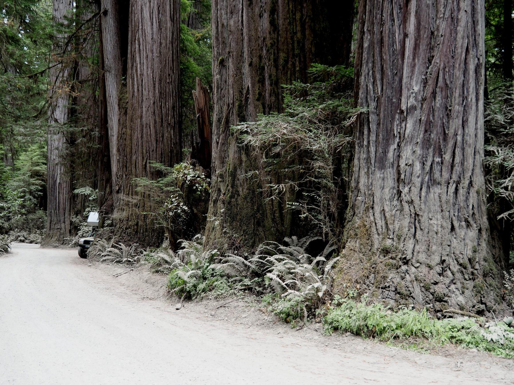 Große Bäume - kleiner Toyota