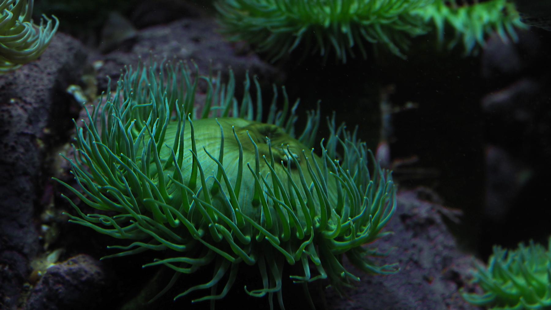 grüne Seeanemonen im Vancouver Aquarium