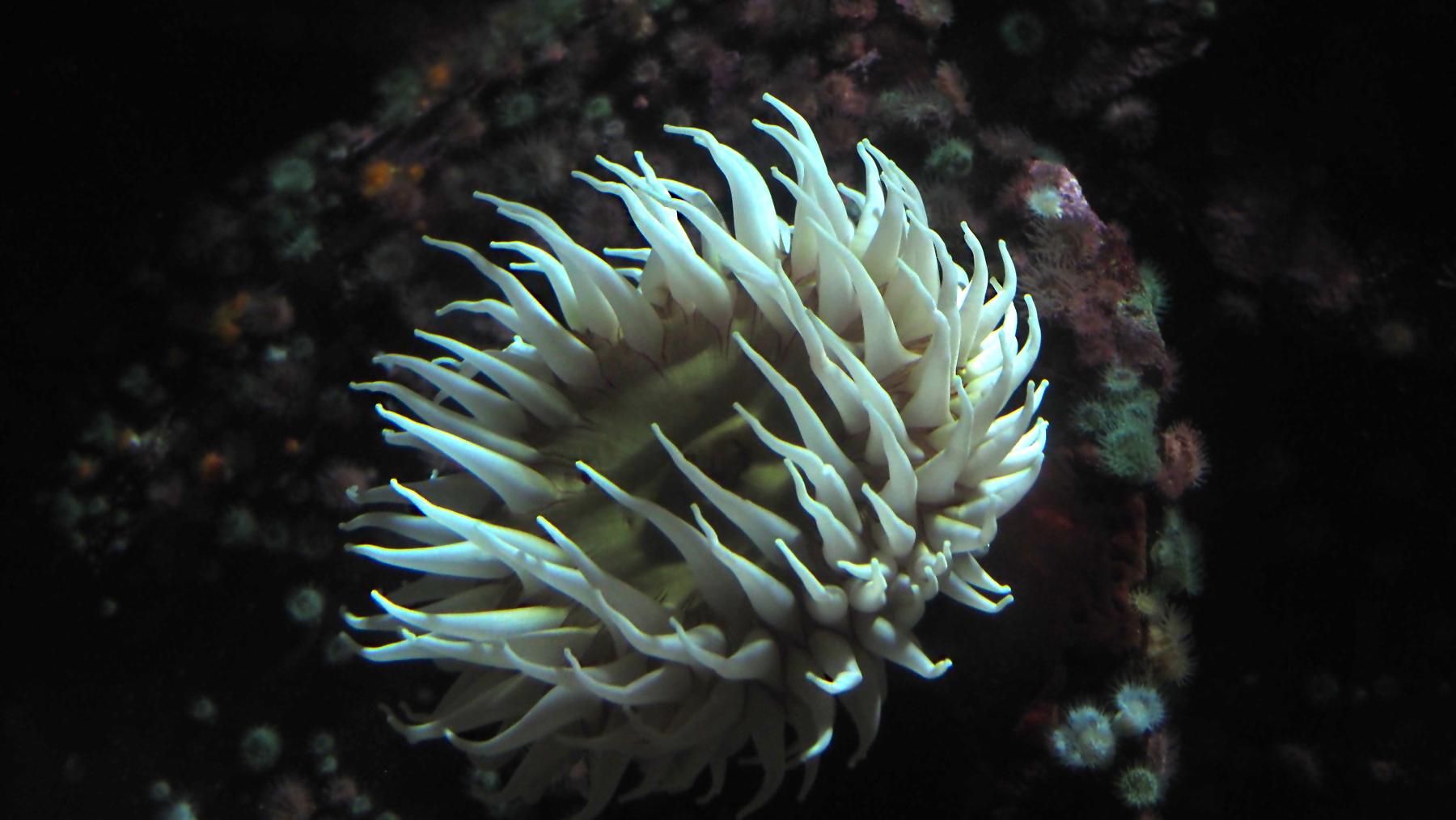 Riesen-Seeanemone im Vancouver Aquarium