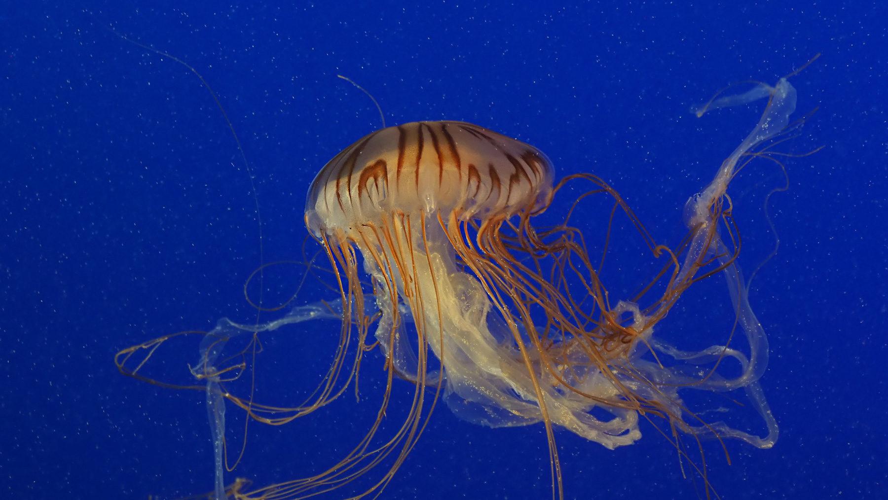 So hübsch anzusehen: Quallen im V.Aquarium