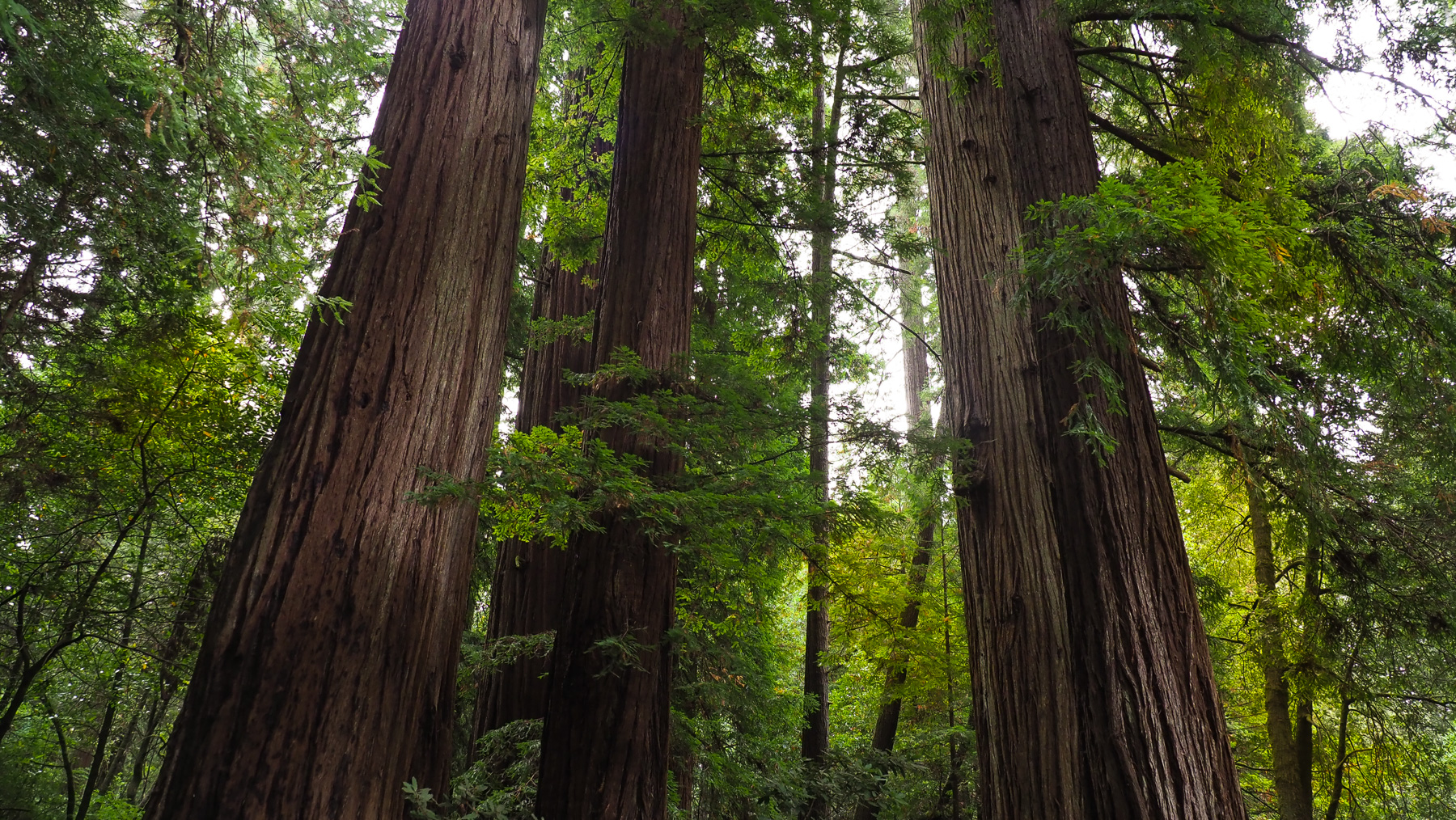 Redwoods, bis 1500 Jahre alt
