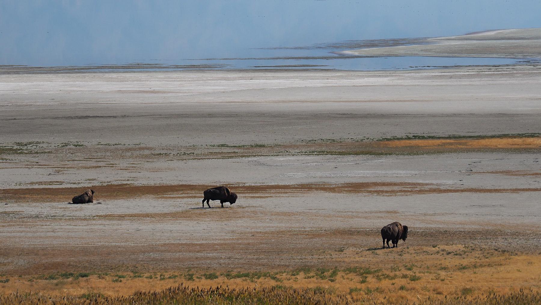 Antilope Island – die Büffel gehen weit raus auf's Salz
