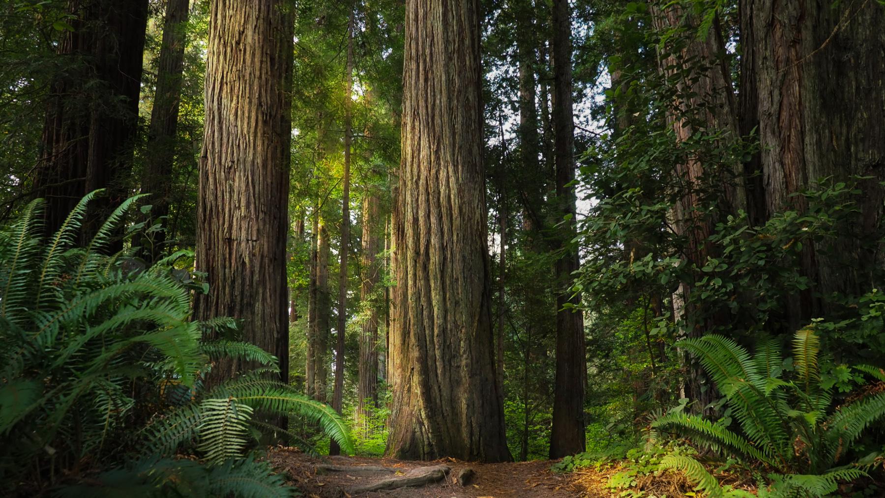 Redwoods, wohin das Auge blickt