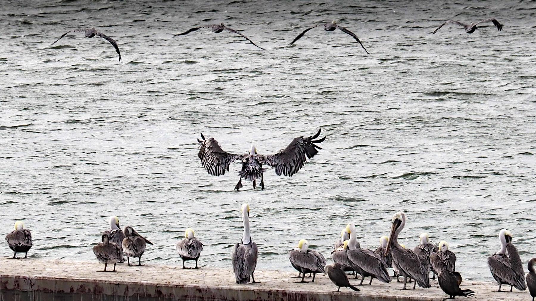 Jede Menge Pelikane in der Bucht