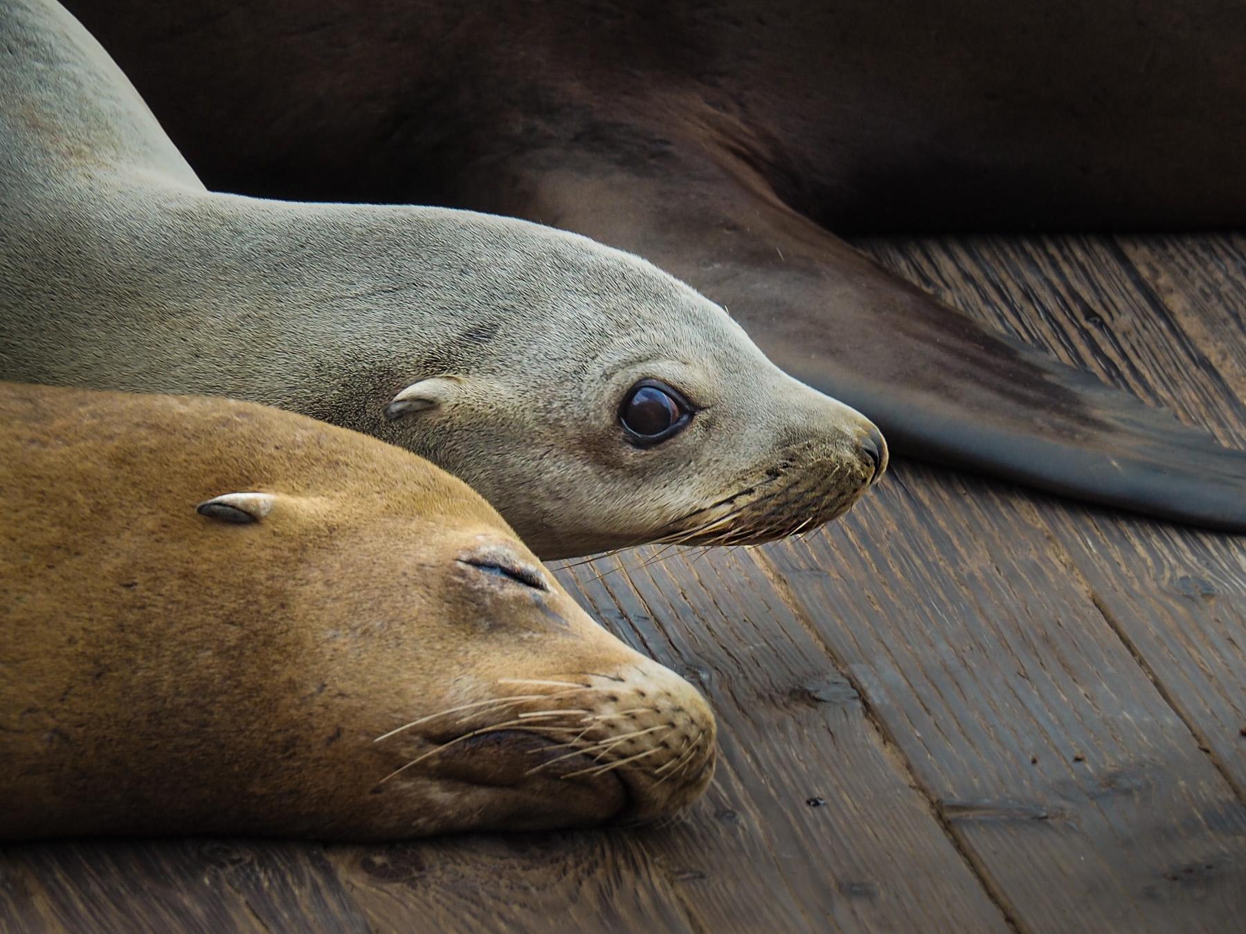 Die jungen Seelöwen sind so niedlich