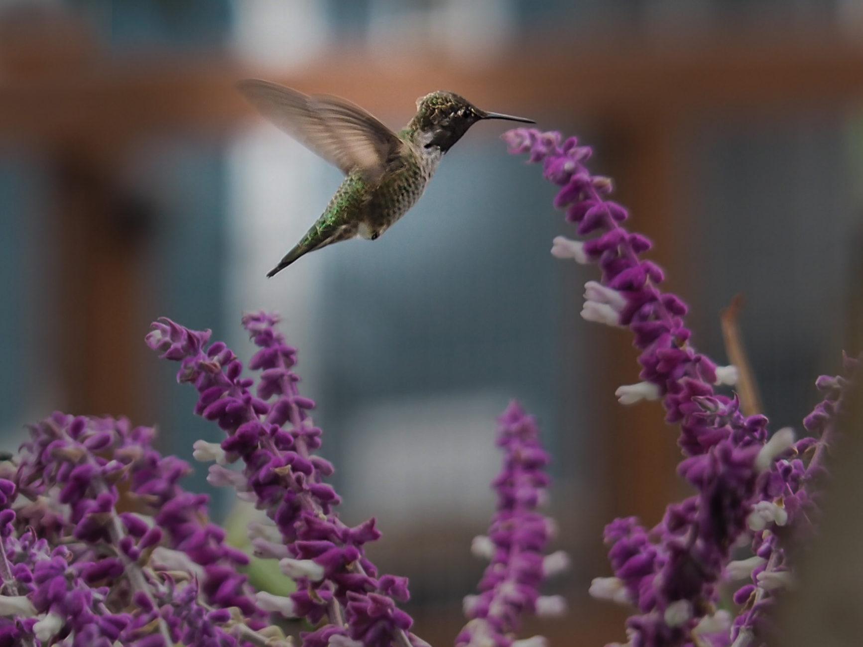 Kolibris in Sausalito