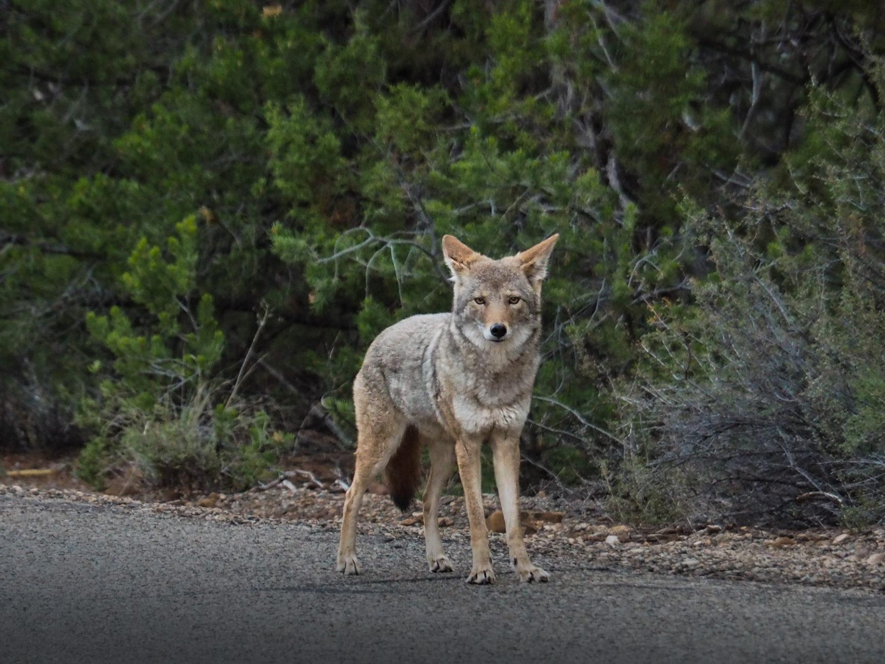 Koyote – schon öfter gesehen und in der Nacht gehört