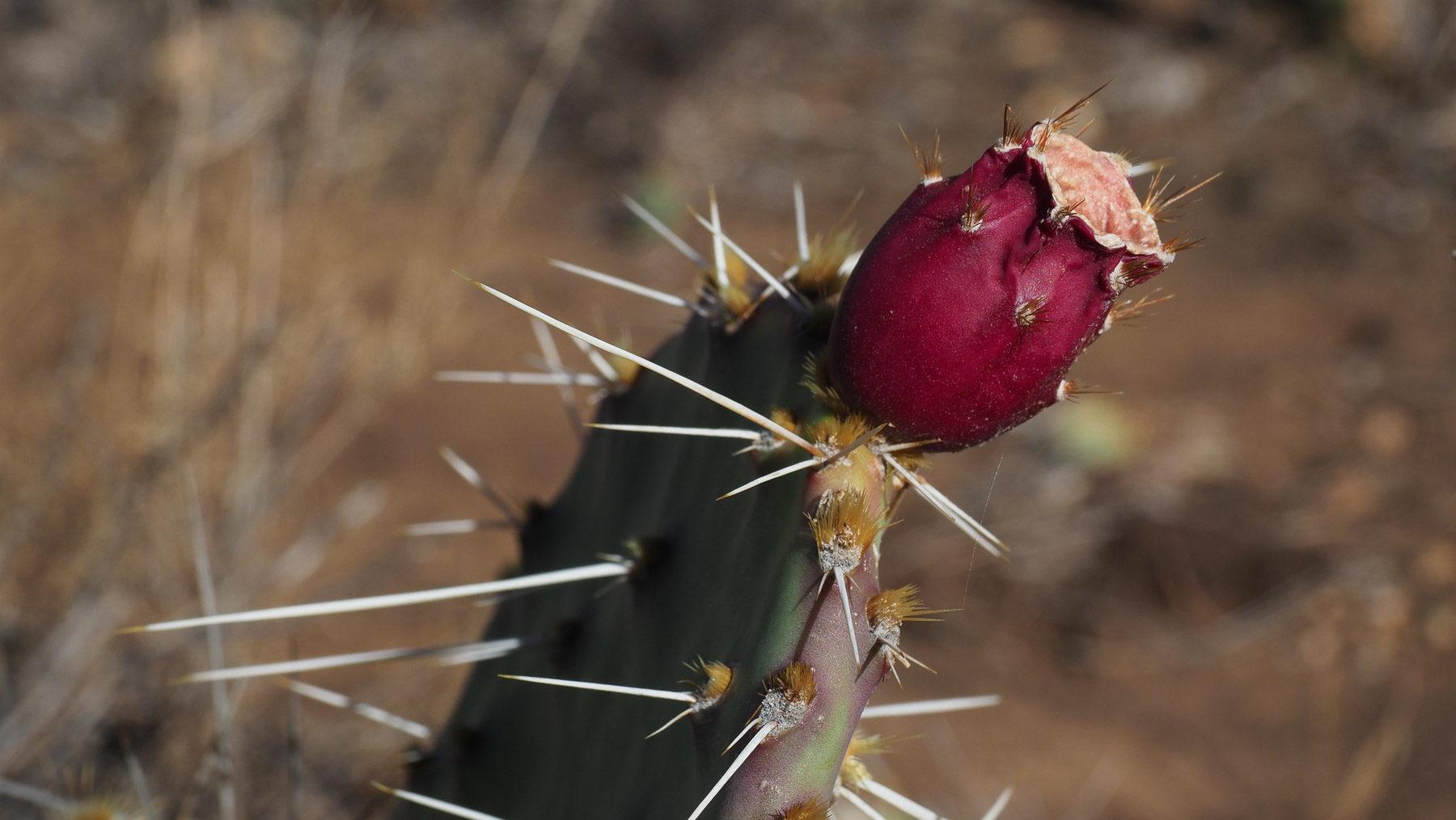 Kaktusfrucht