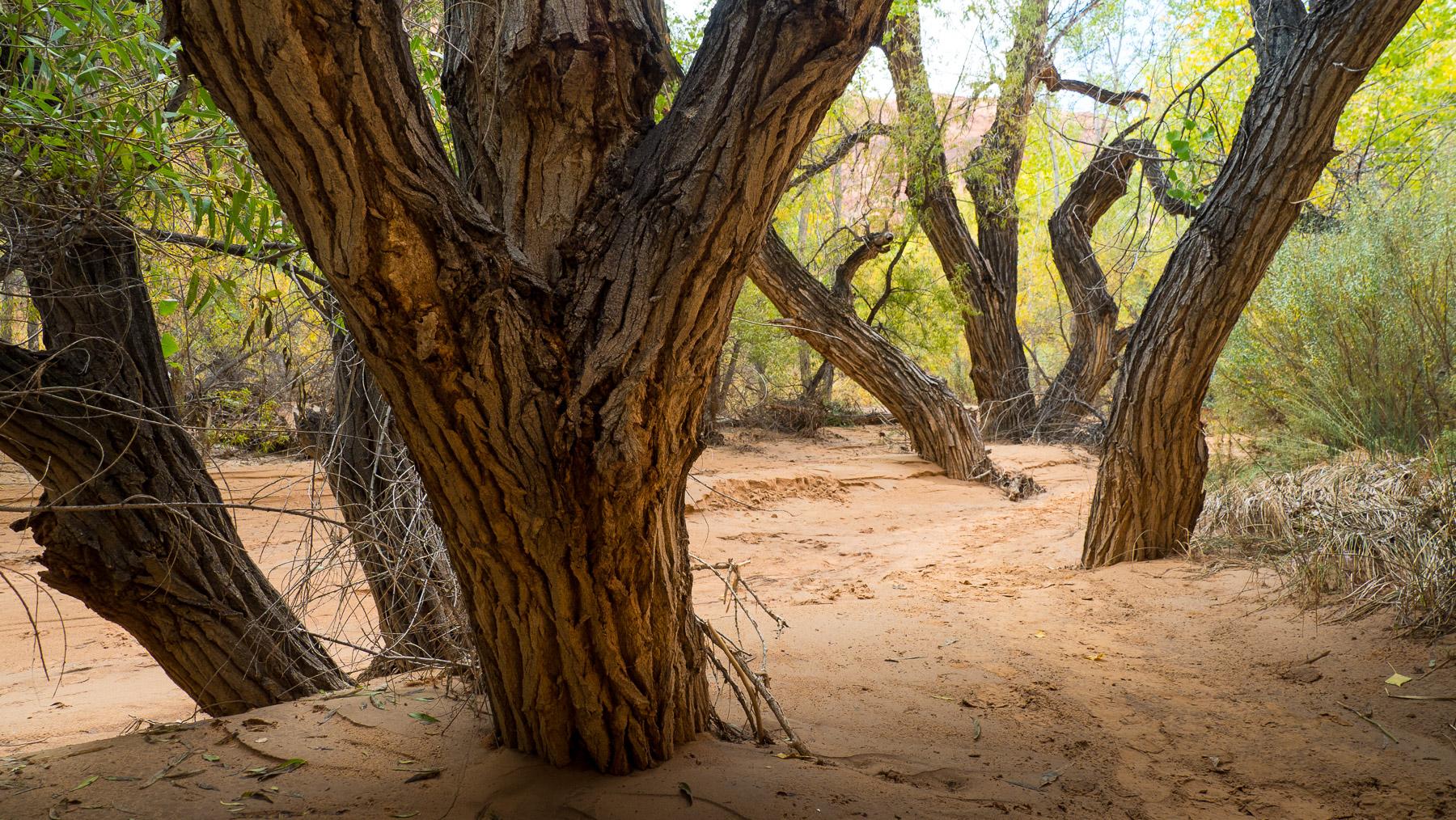 Cottonwoodbäume im Canyon