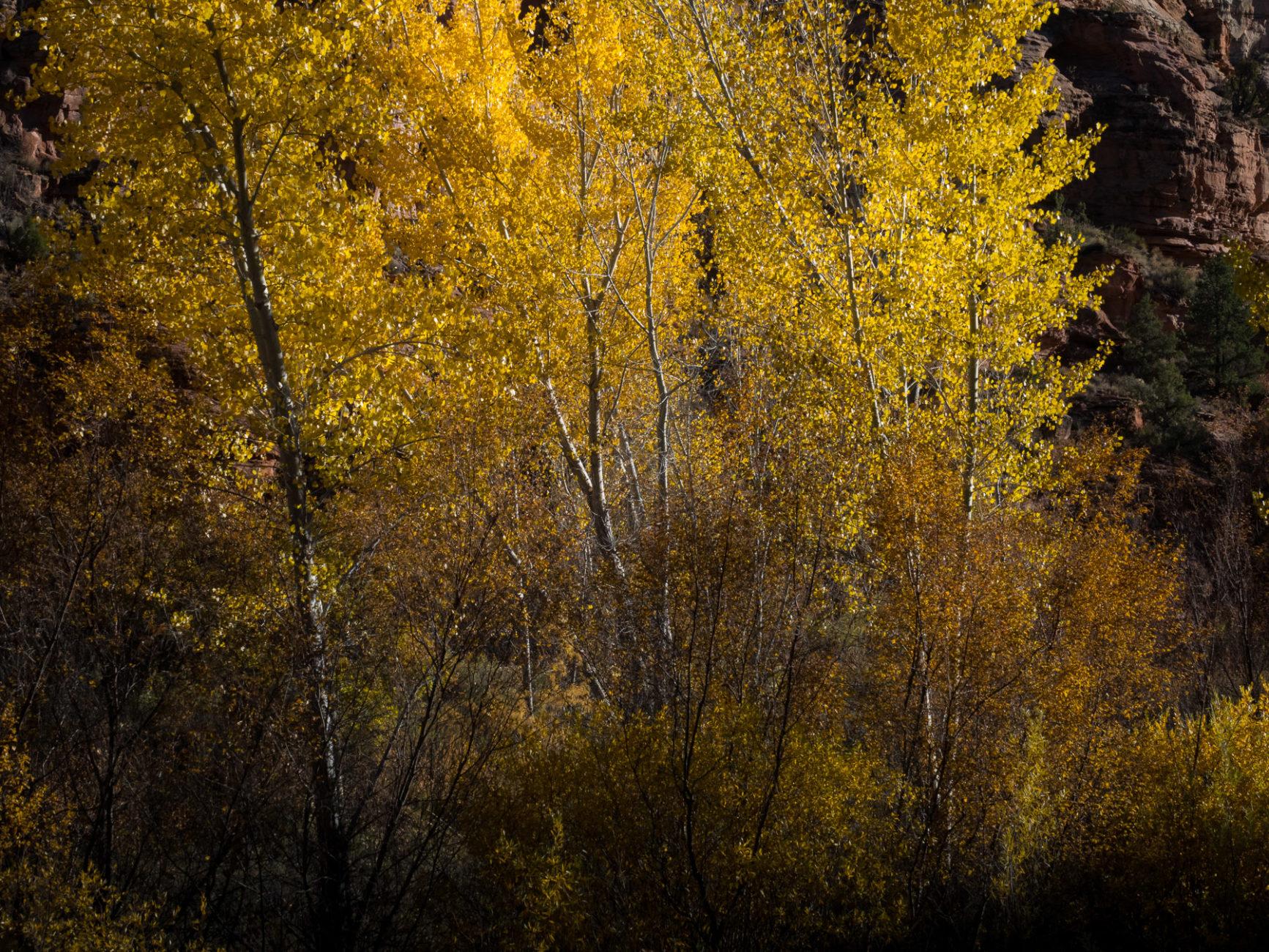 Herbstliche Aspentrees