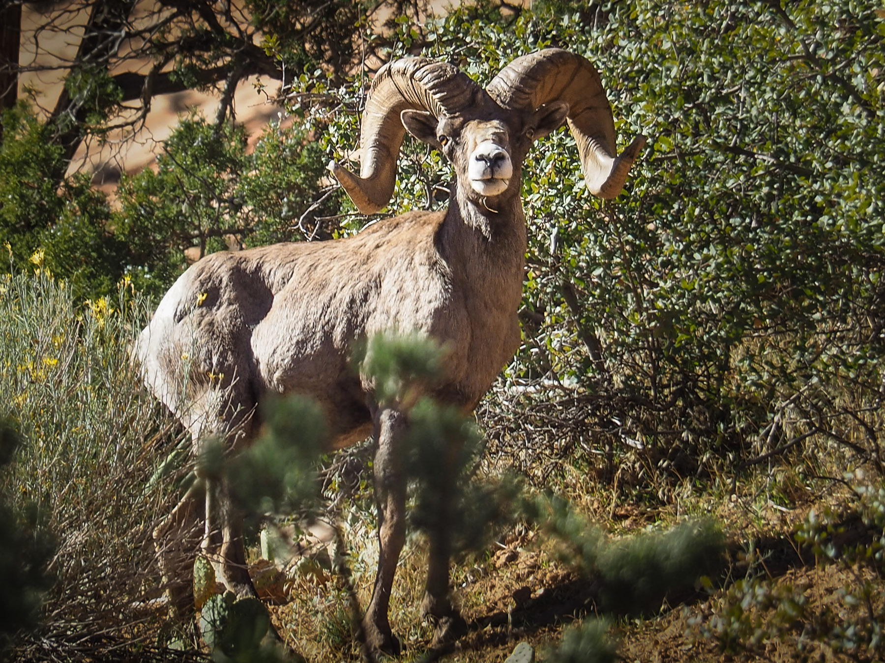 Der stolze Bighorn Bock