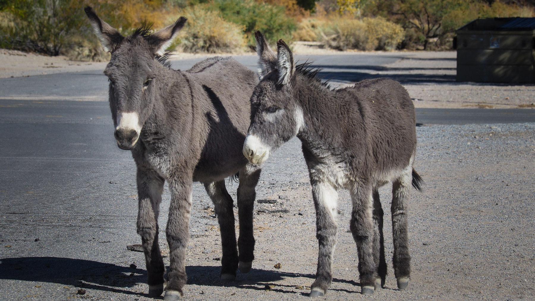 Burros, wilde Esel am Straßenrand