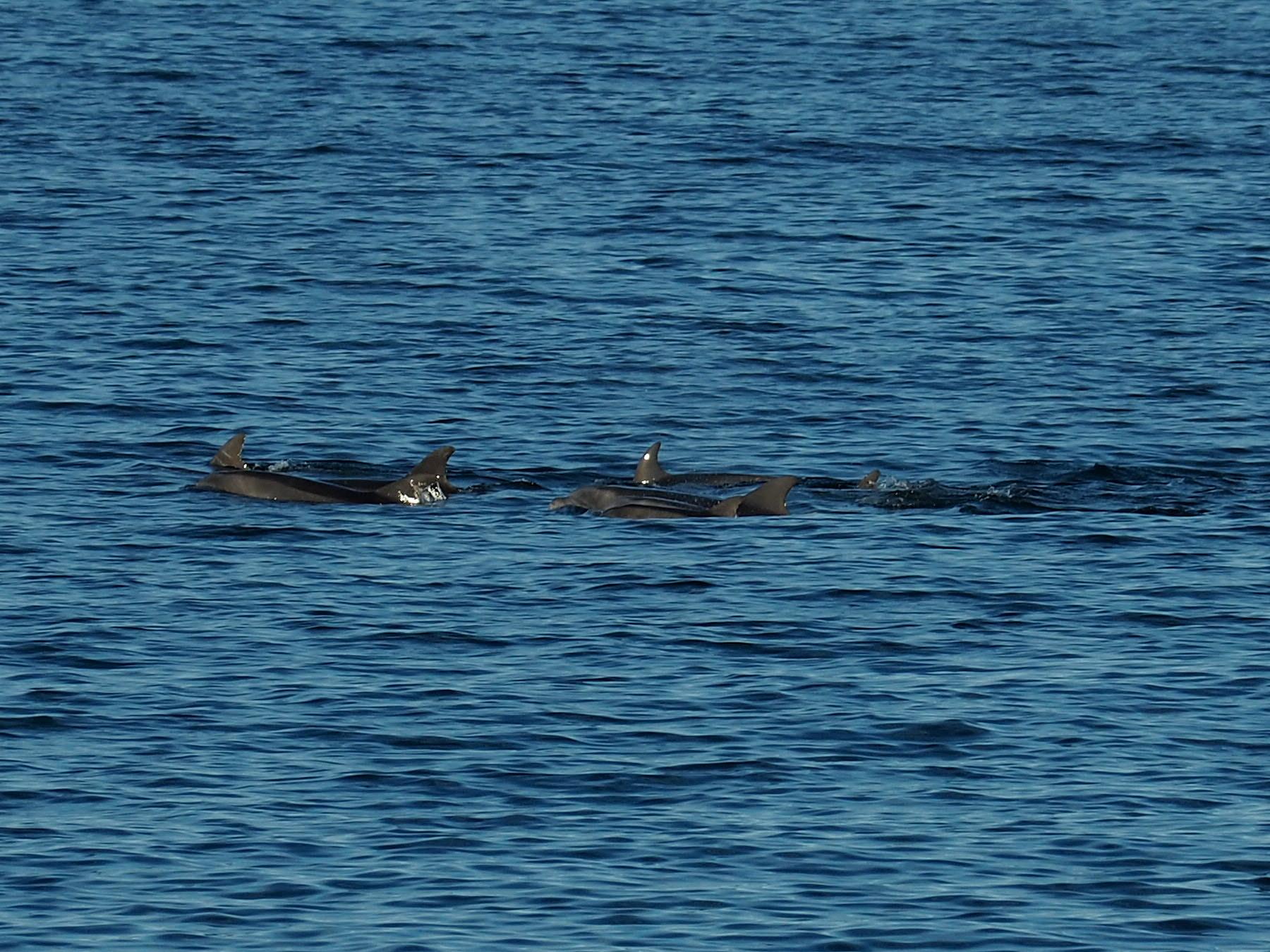 Delphine auf der Jagd